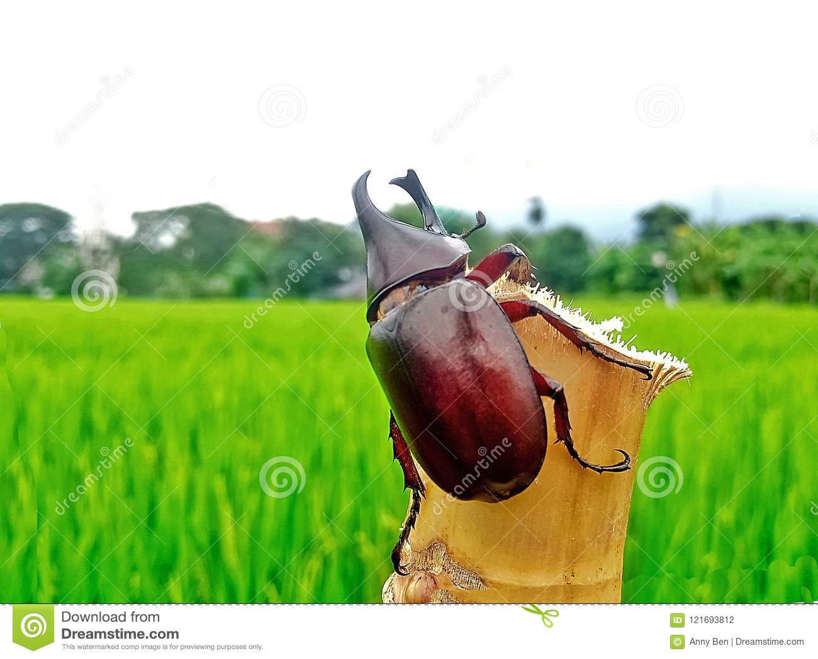Nosorożec ściga, nosorożec ściga na bambusie