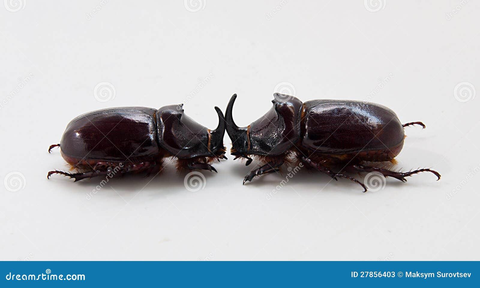 Nosorożec dwa ścigi
