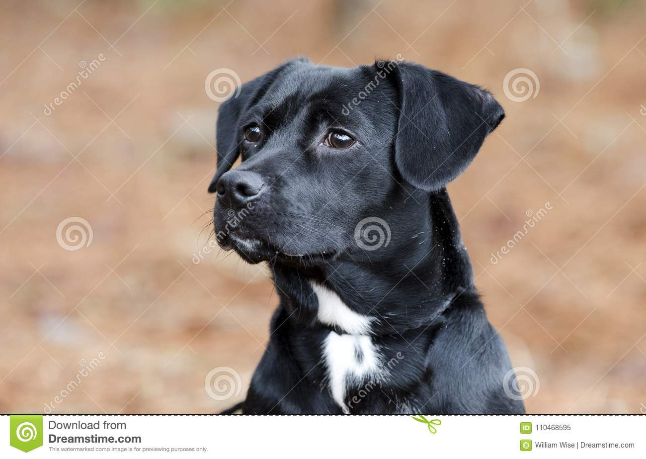 Cute Black Beagle Dachshund Mixed Breed Puppy Dog Mutt Stock Image