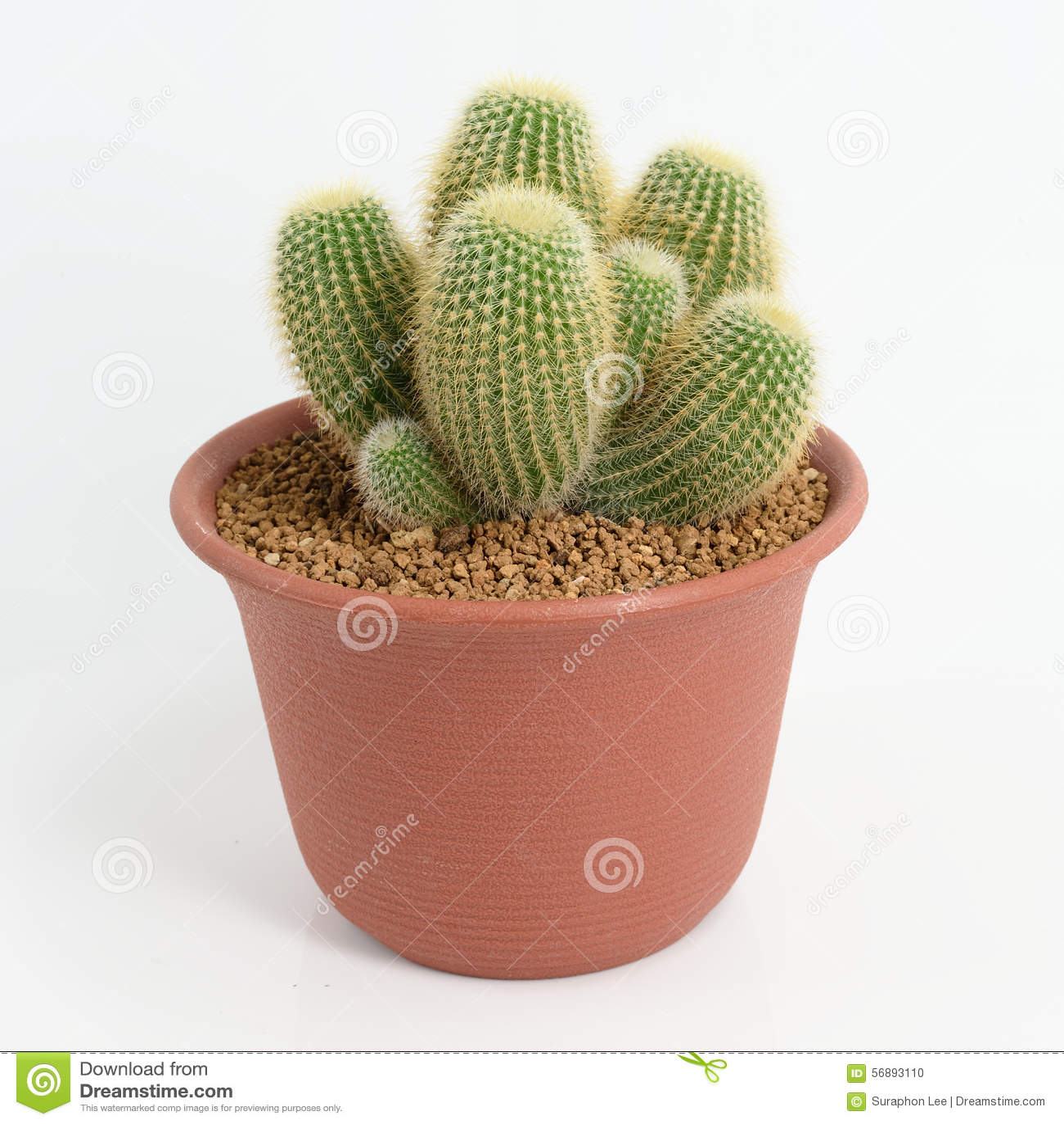 Notocactus Leninghausii grono