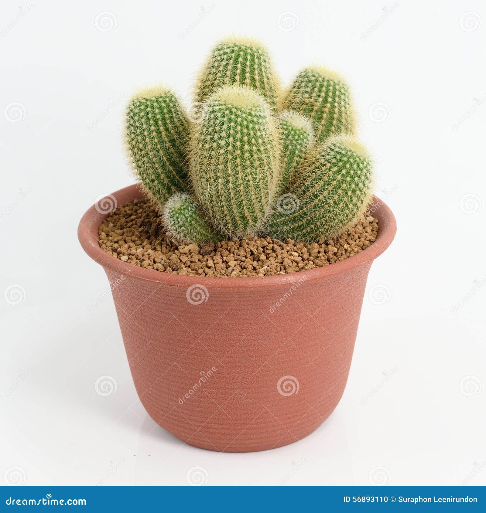Notocactus Leninghausii klunga