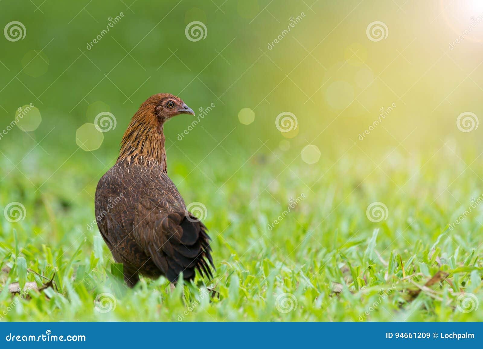 Nourriture colorée d investigation de poulet pendant le matin