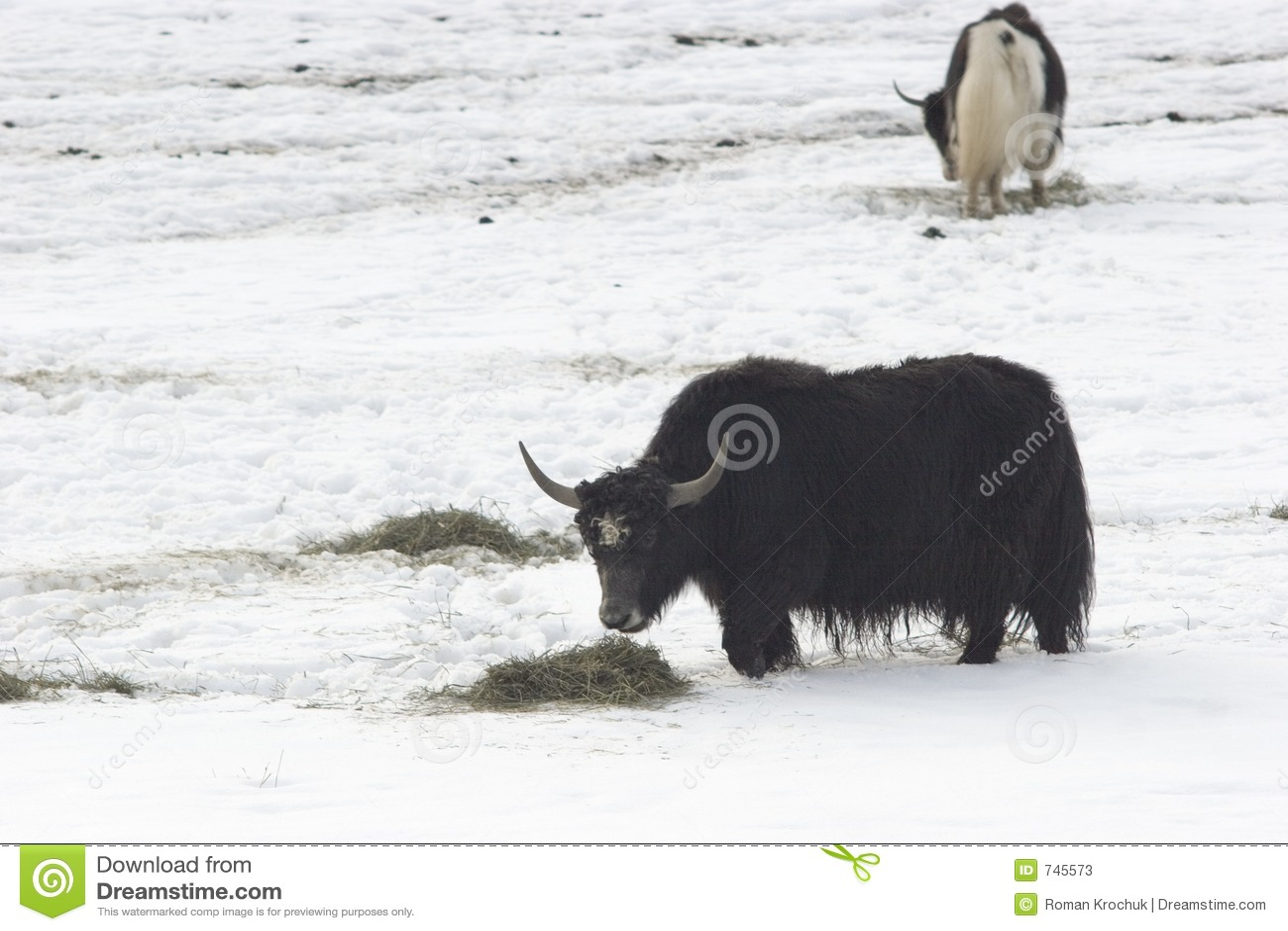 Nourriture de l hiver pour le muskox