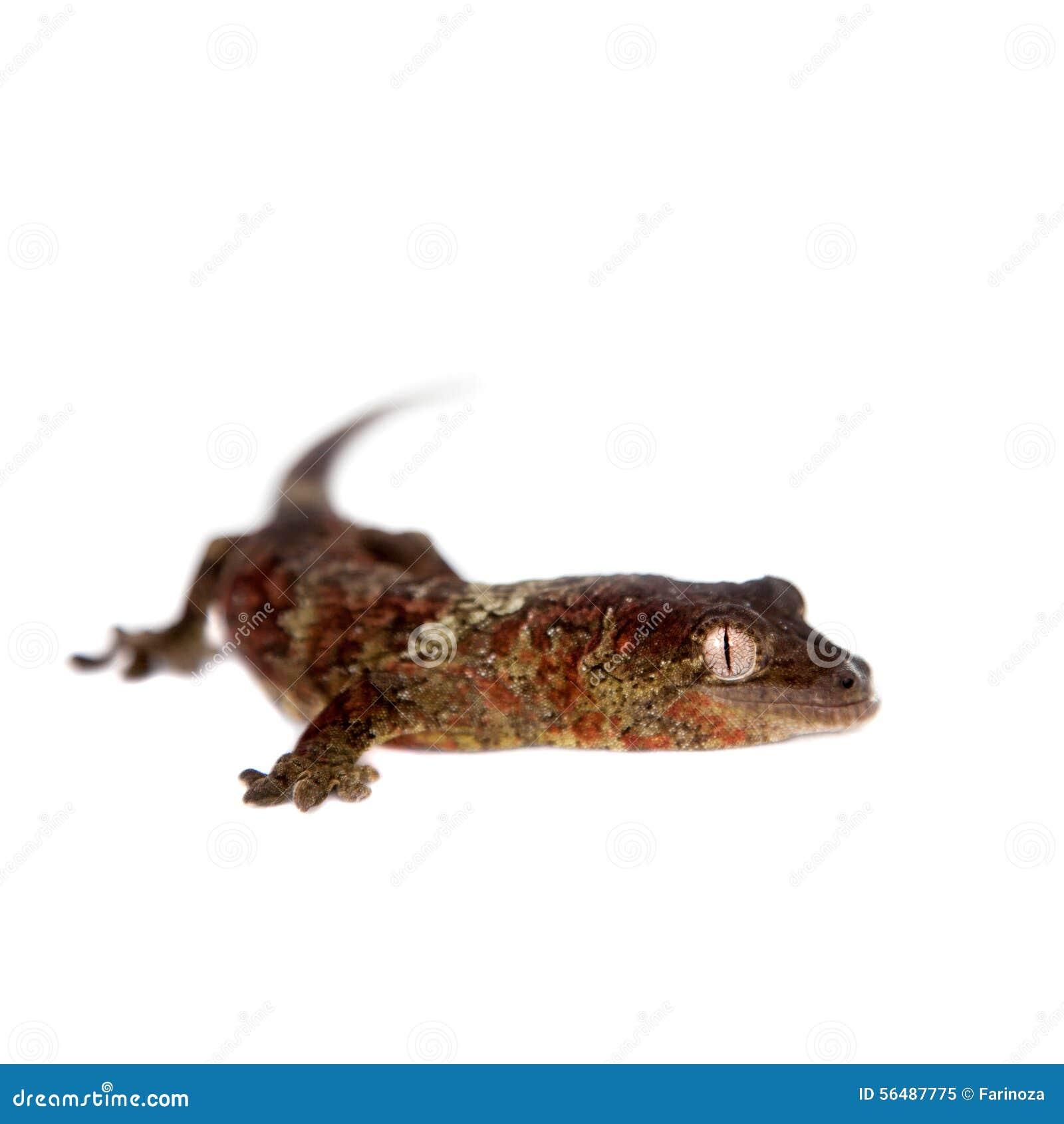 Nouveau gecko calédonien moussu d isolement sur le blanc