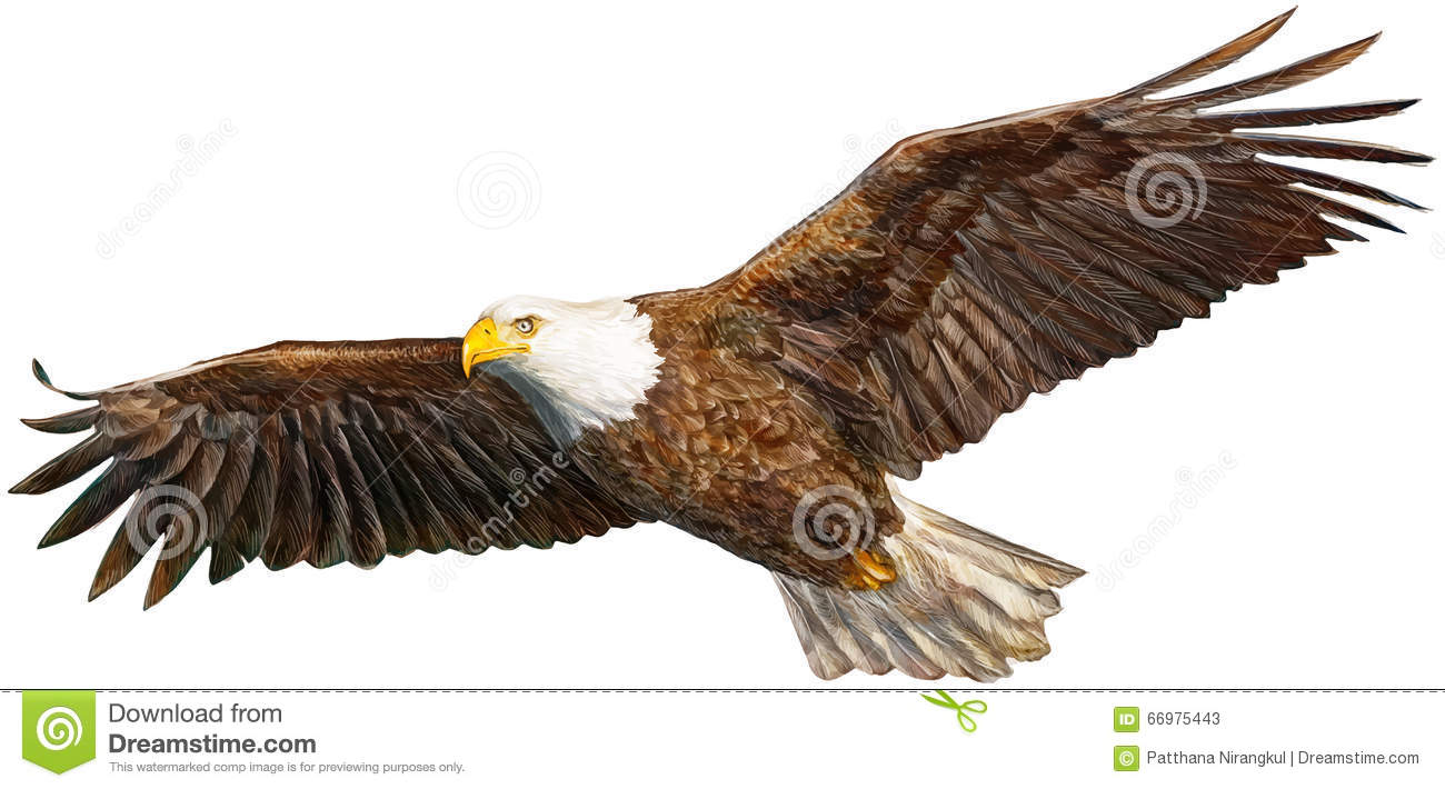 Nouveau vol d 39 aigle illustration de vecteur illustration du animal 66975443 - Dessin d aigle royal ...