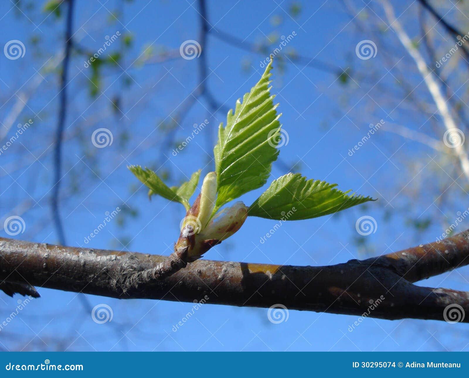 Nouvelles feuilles d 39 arbre de bouleau photo stock image - Feuille de bouleau photo ...