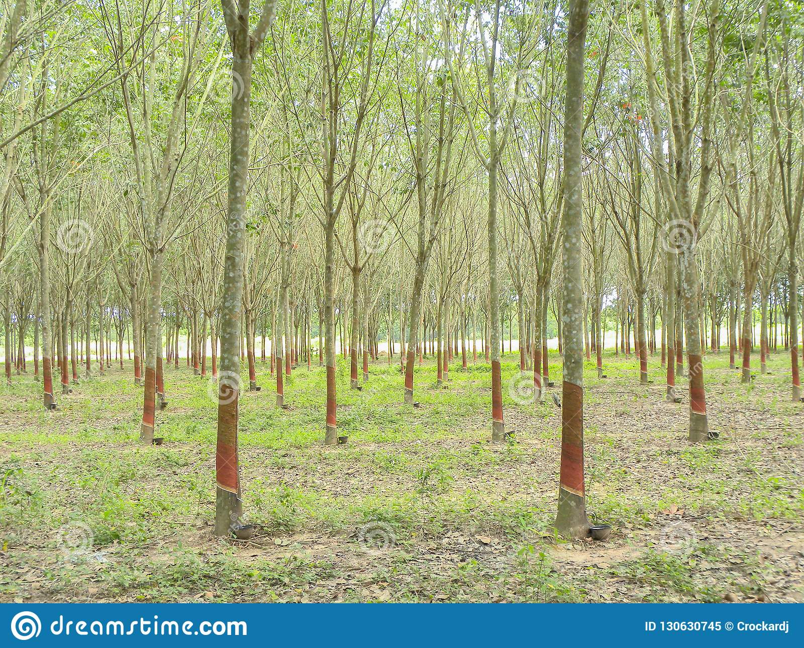 November 2017 - Chachoengsao, Thailand - Bosje van rubberbomen die worden geoogst