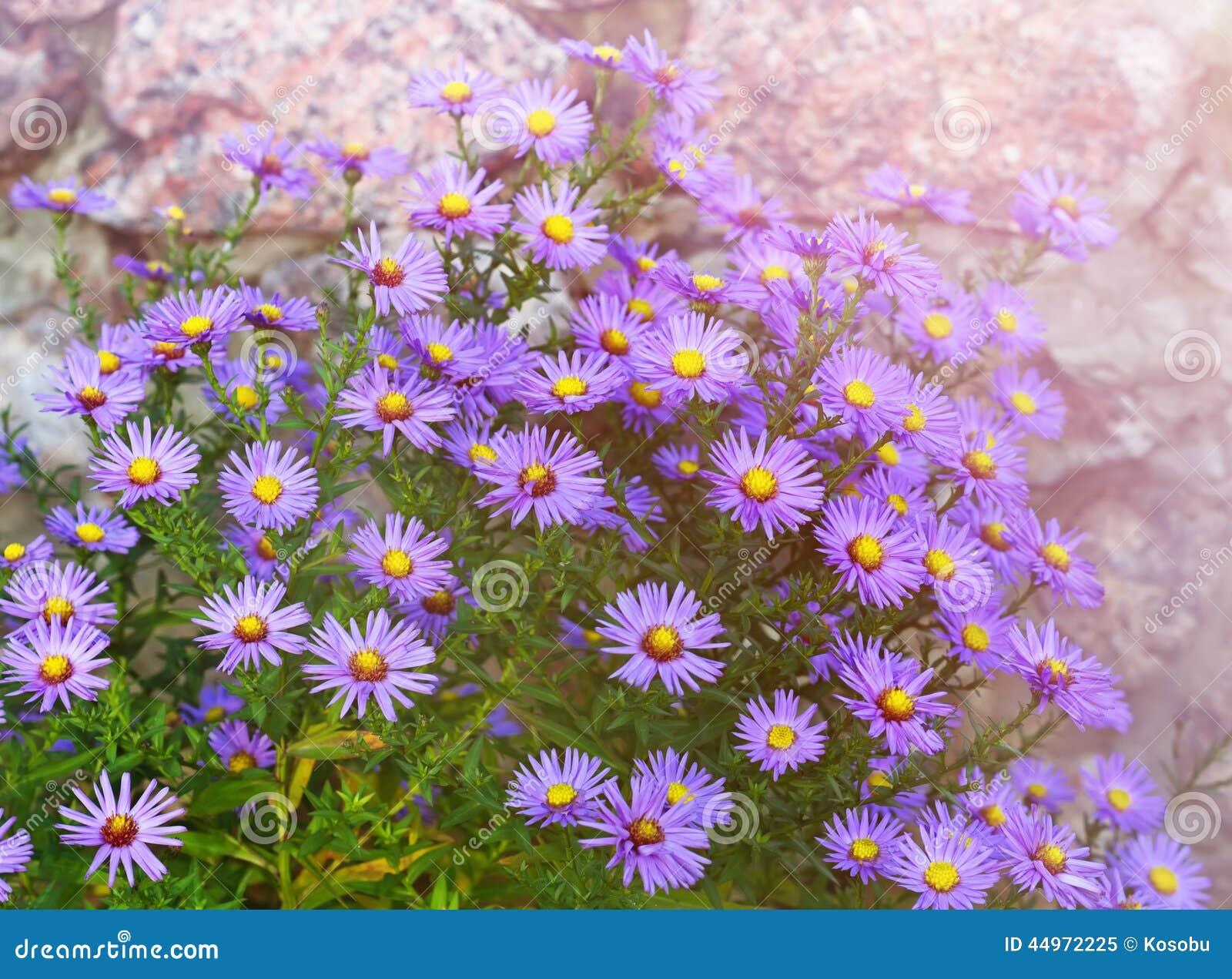 Como ásteres De New York, No Canteiro De Flores Do Jardim No Outono~ Flores Para Jardim De Outono