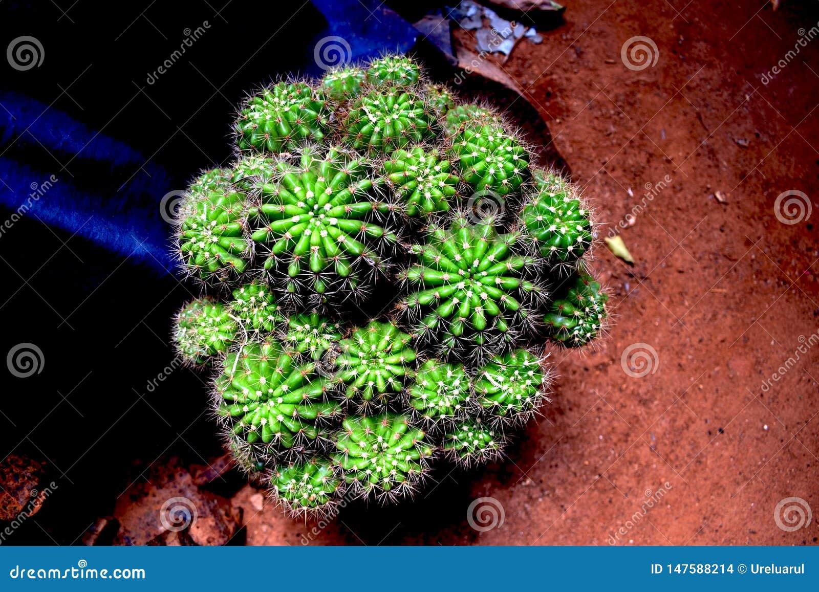 Novicio del cactus Cactus espinoso espinoso barril