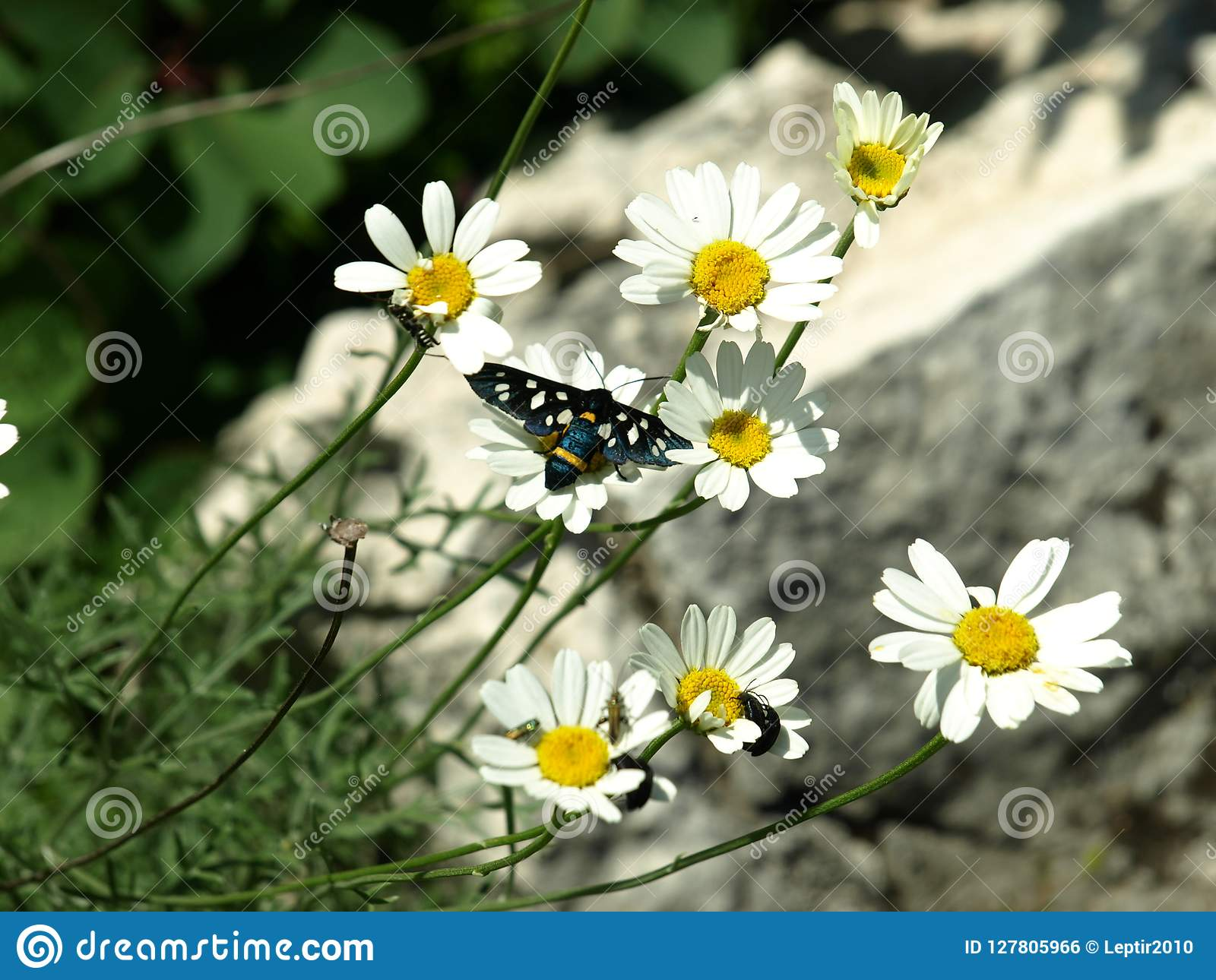 Novigrad Kroatien, fjäril, tusenskönor, fält som är härligt, sjösida, stad, rich, historia