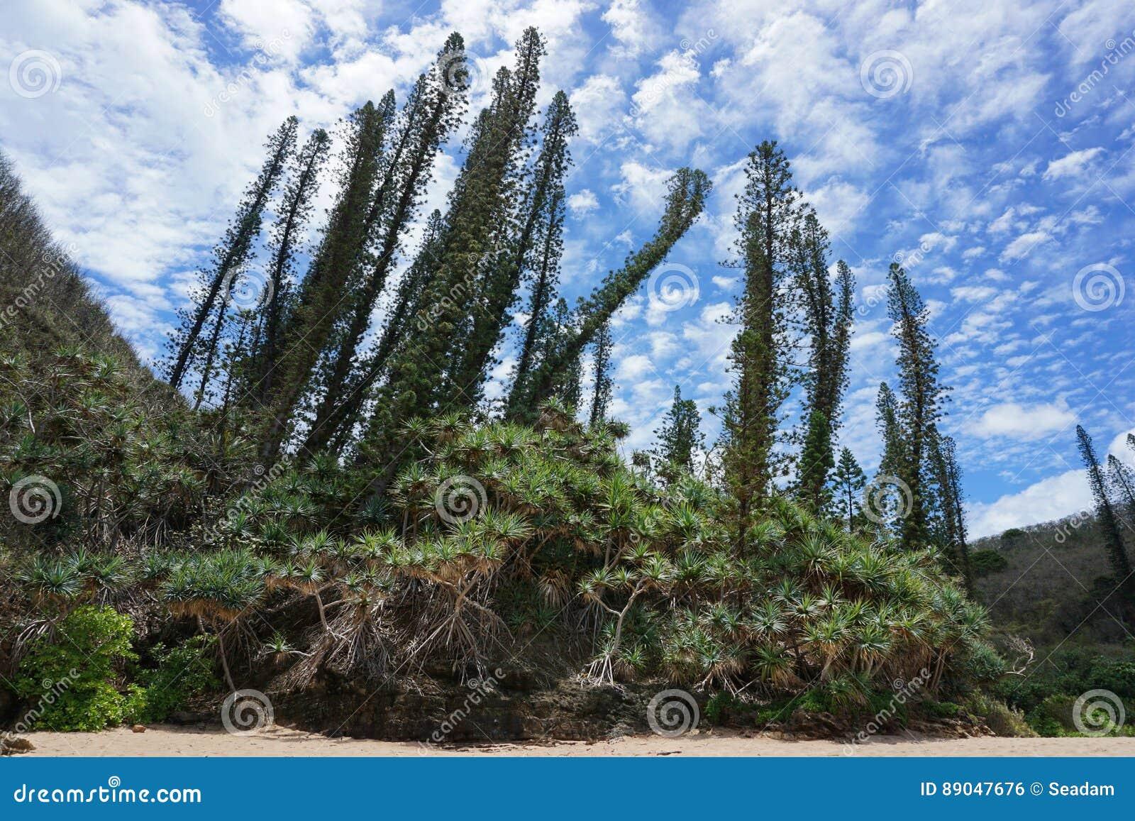 Nowe Caledonia endemiczne sosny z pandanowami