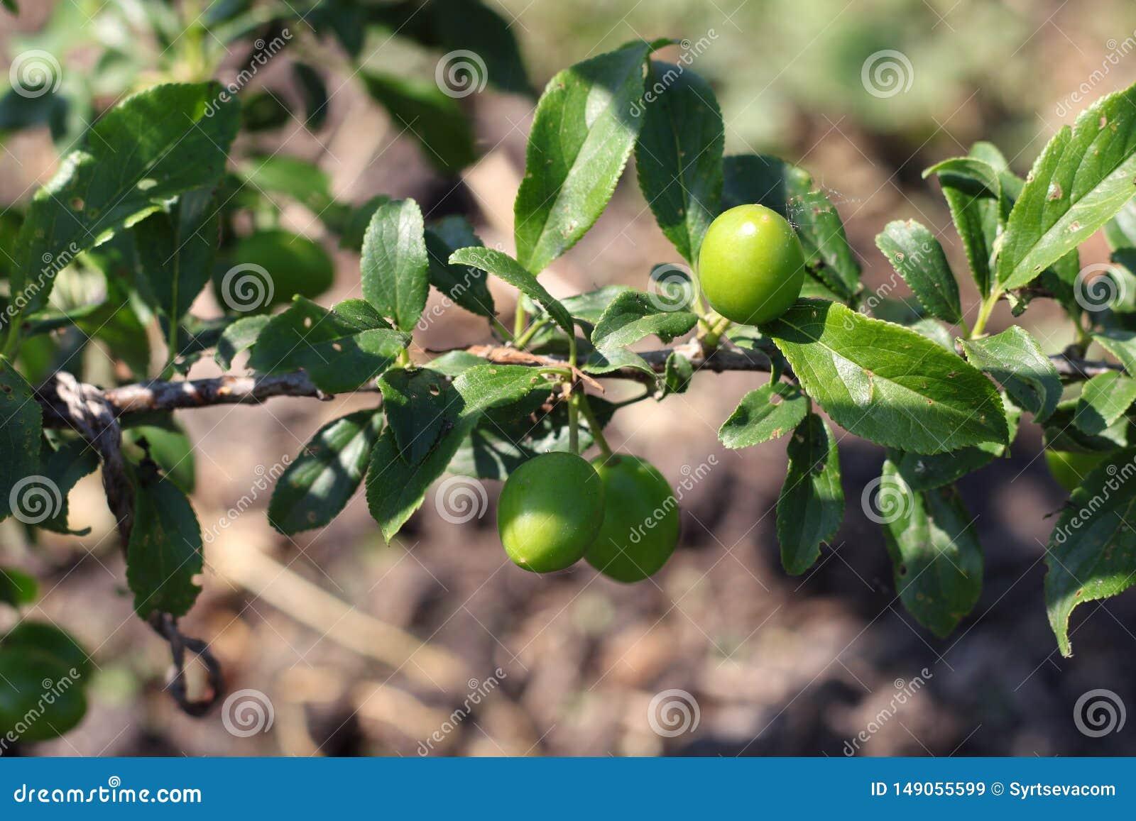 Nowe owoc no są dojrzałe na gałąź na w górę tła ogród