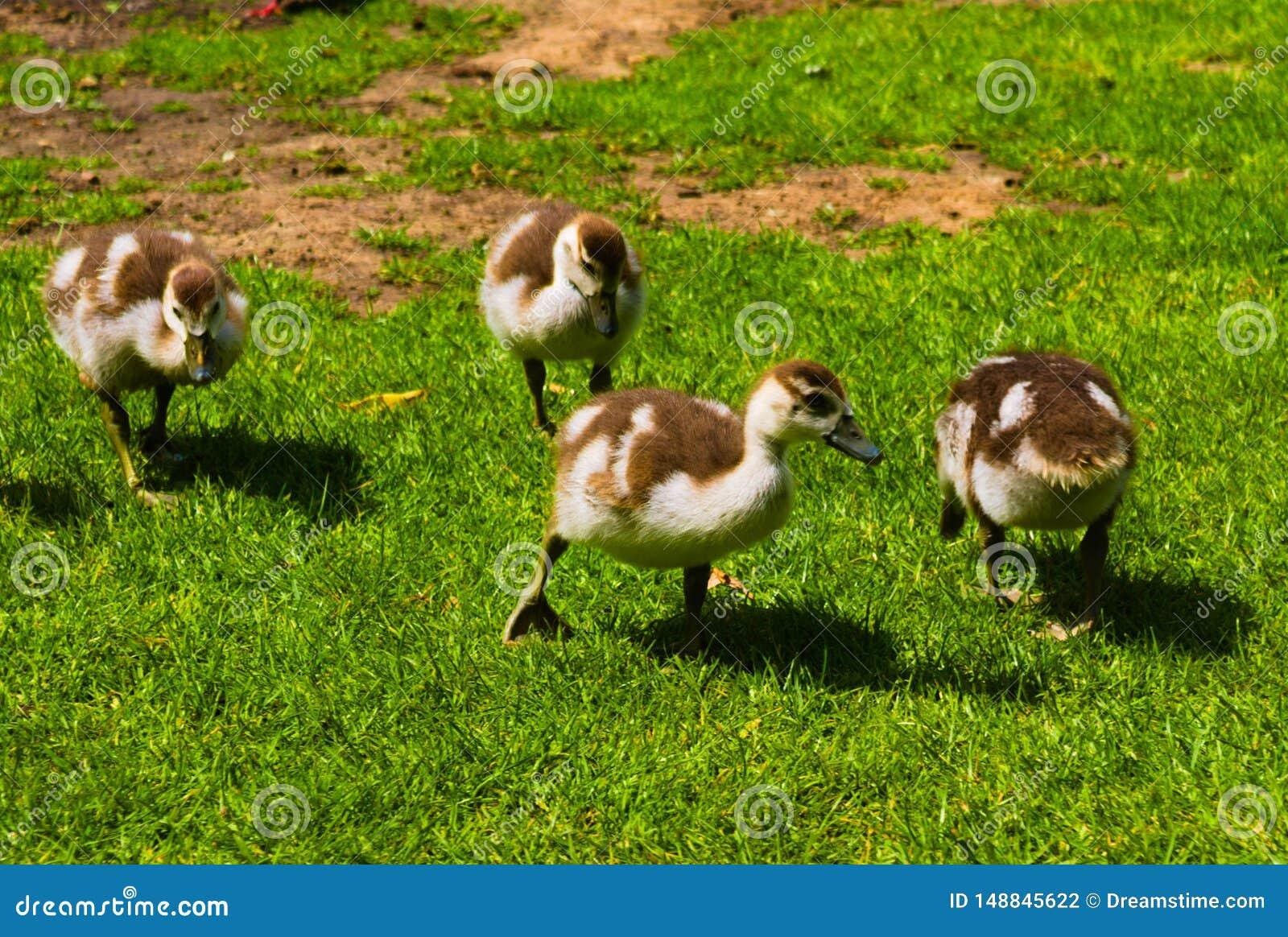 Nowonarodzona dziecko kaczka bawi? si? w parku