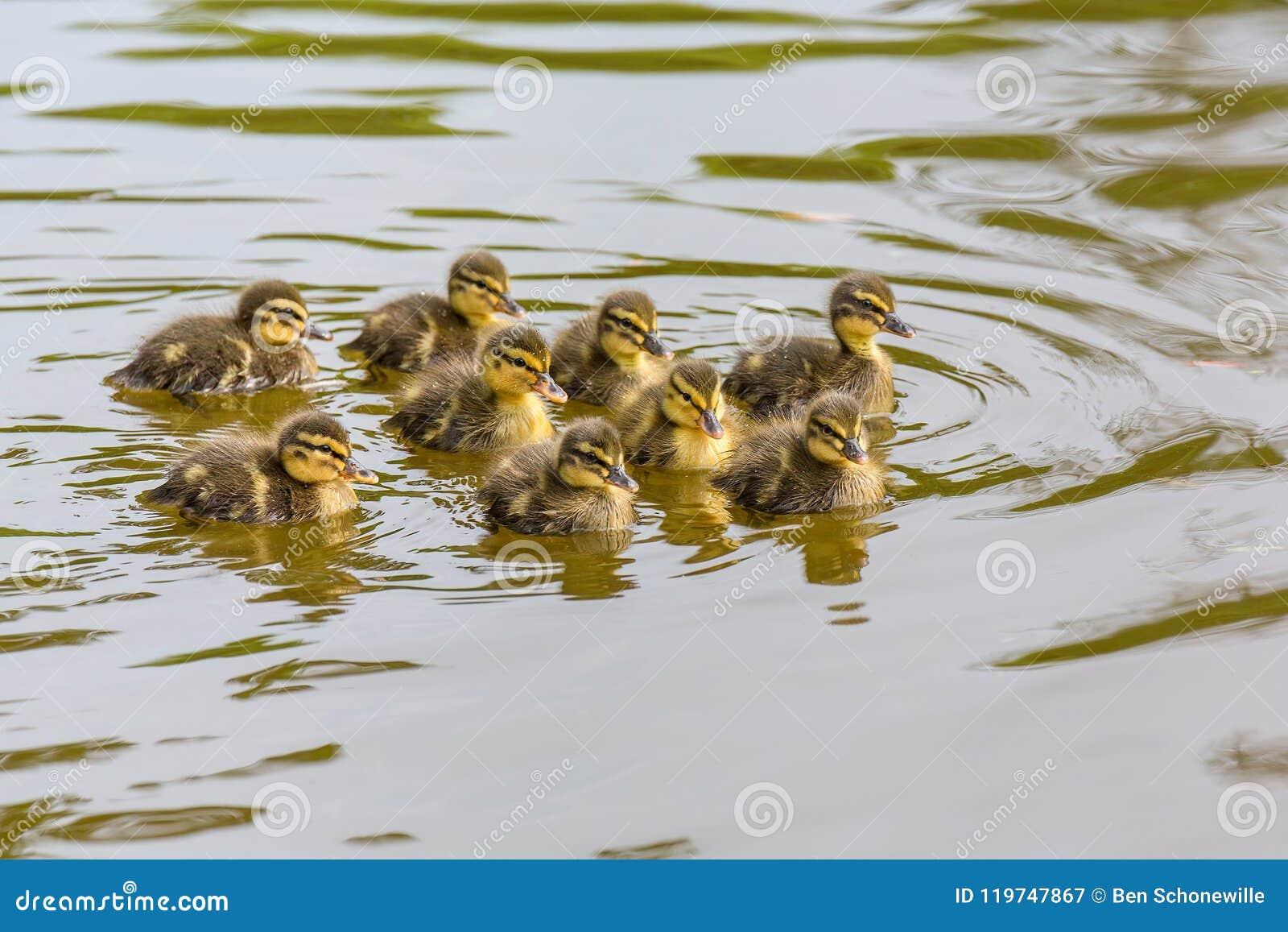 Nowonarodzony dziki kaczątka pływanie w wodzie