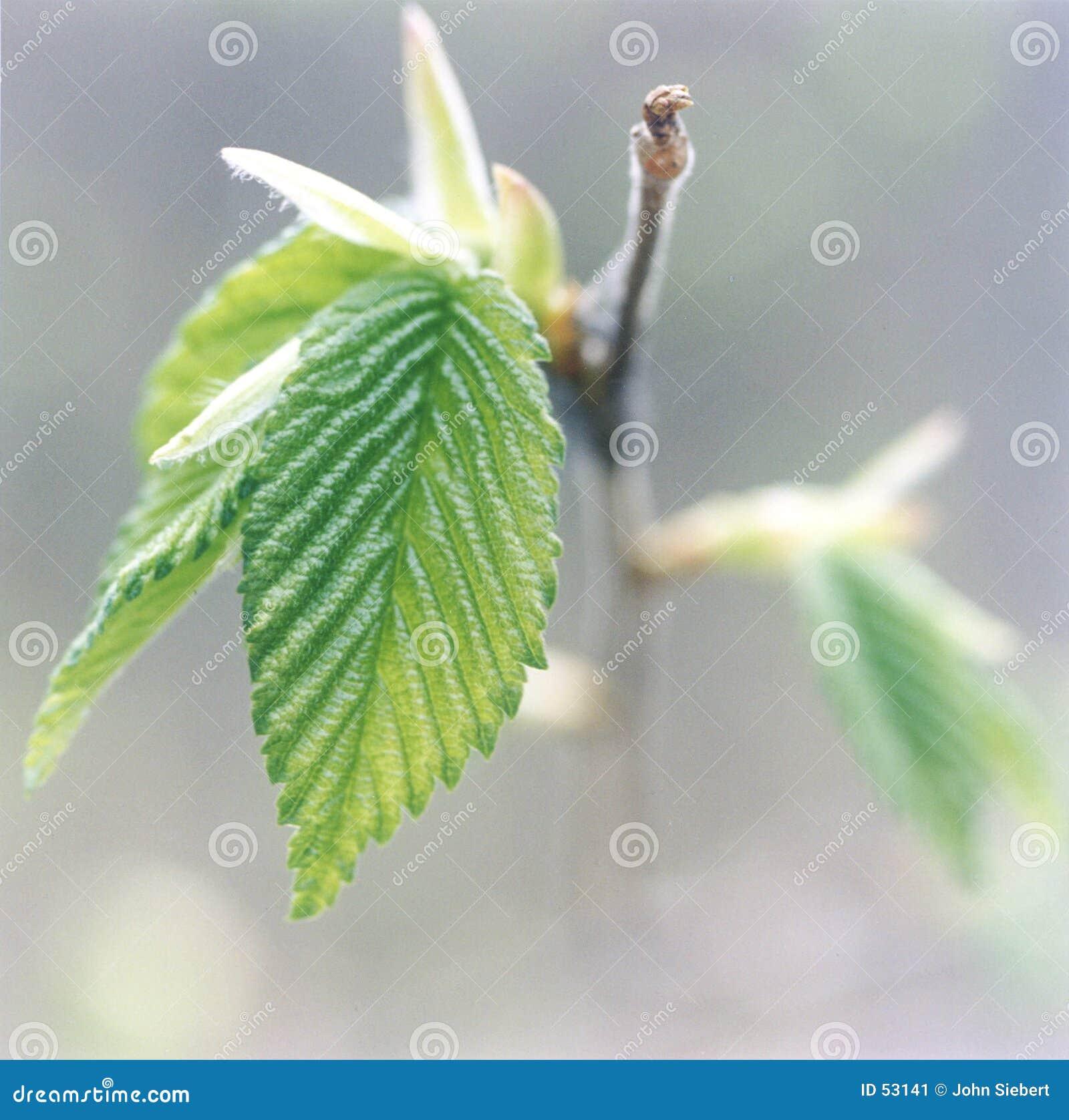 Nowy liści,
