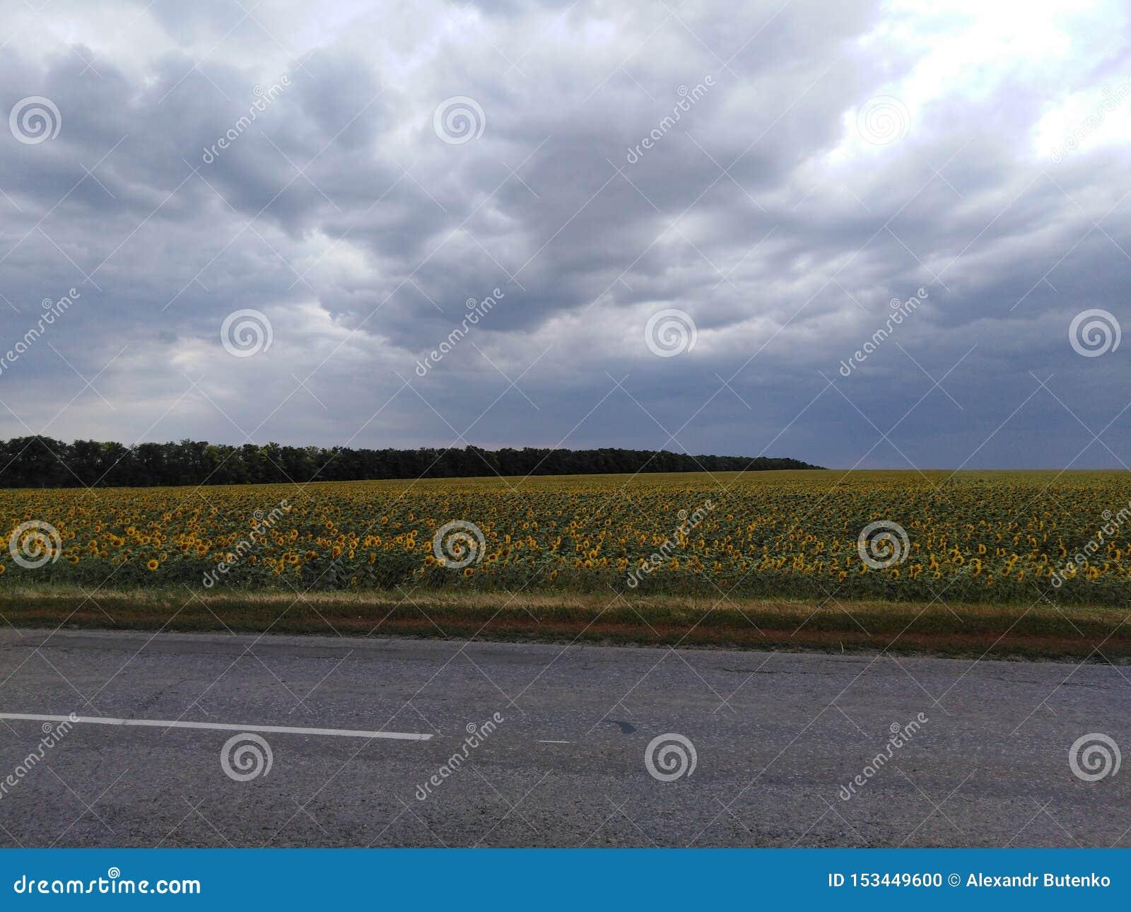 Nubes de lluvia en un campo del girasol