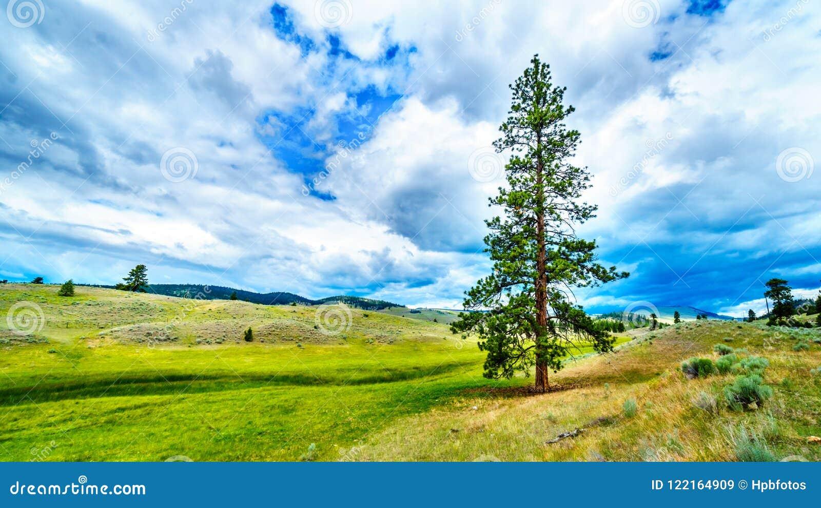 Nubes oscuras que cuelgan sobre árboles de pino de Lodgepole en la Rolling Hills en una región seca del Okanagen a lo largo de la