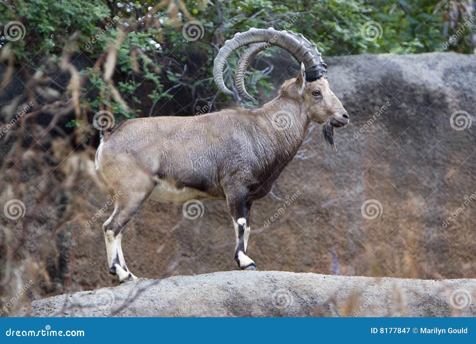 Ibex Goat Nubian Ibex Royalty Free Stock
