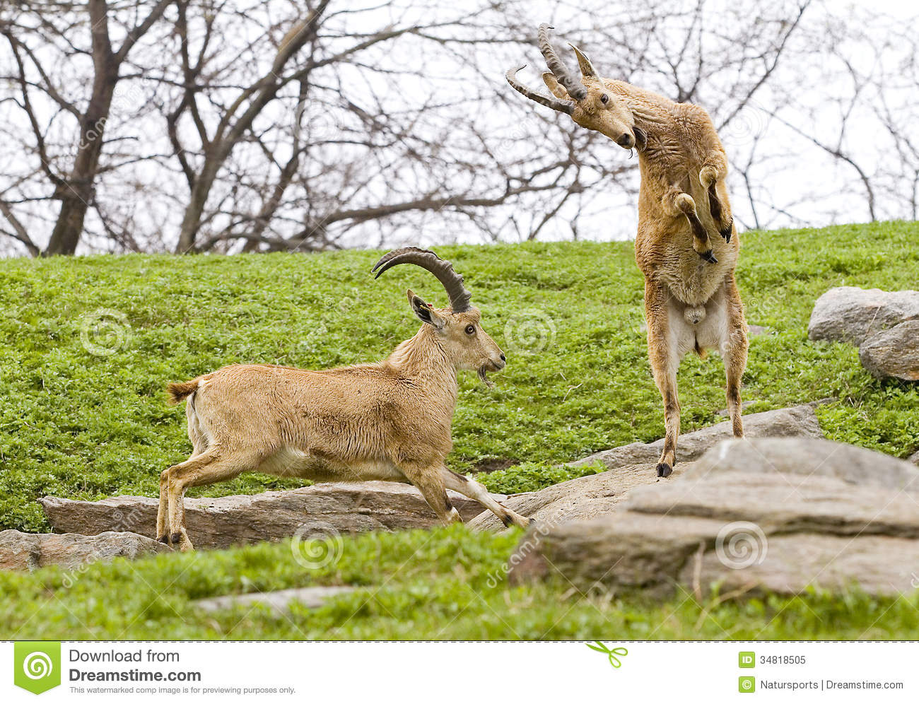 Ibex fighting