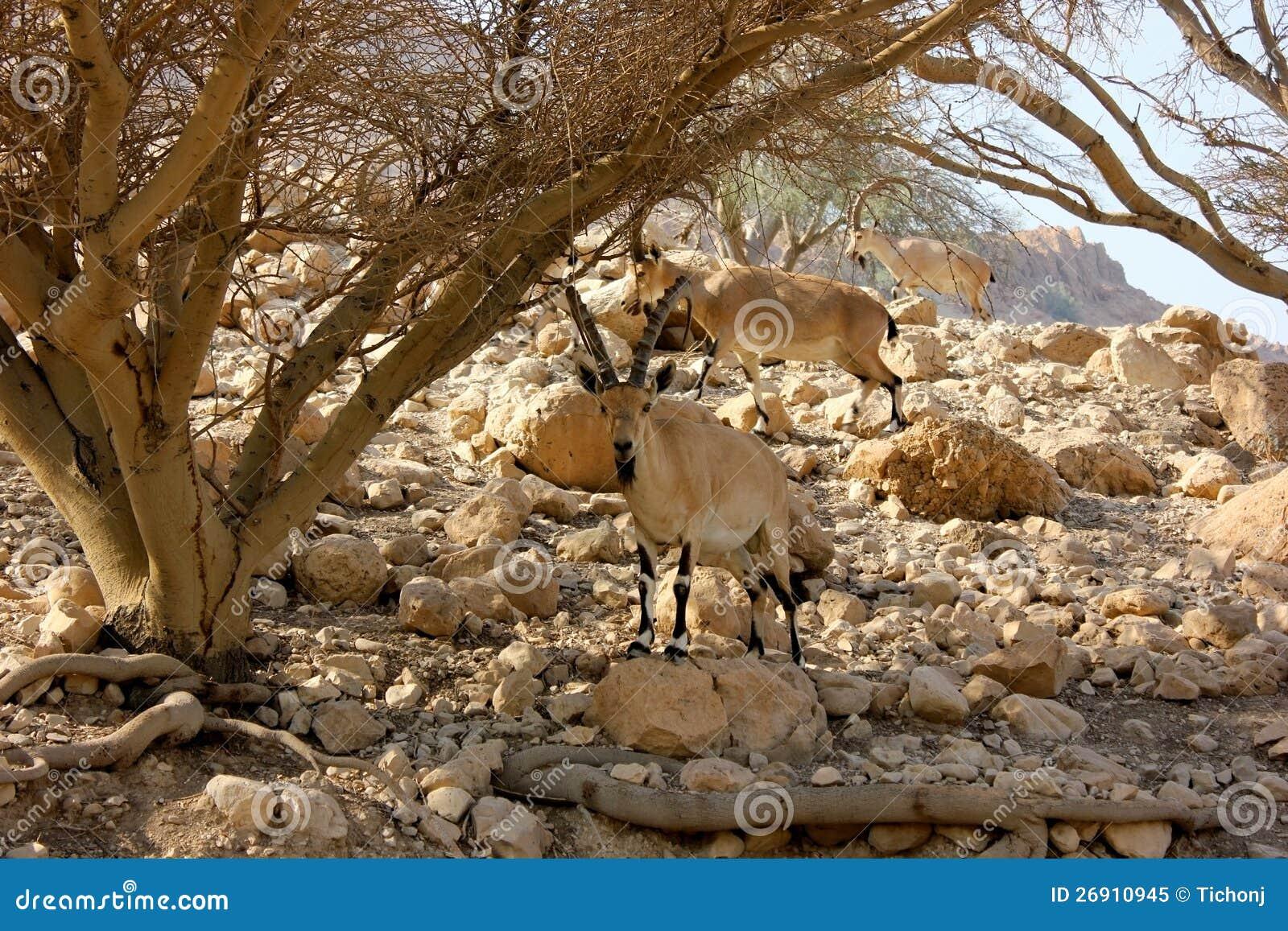 Nubian Ibexes in the Judea Desert