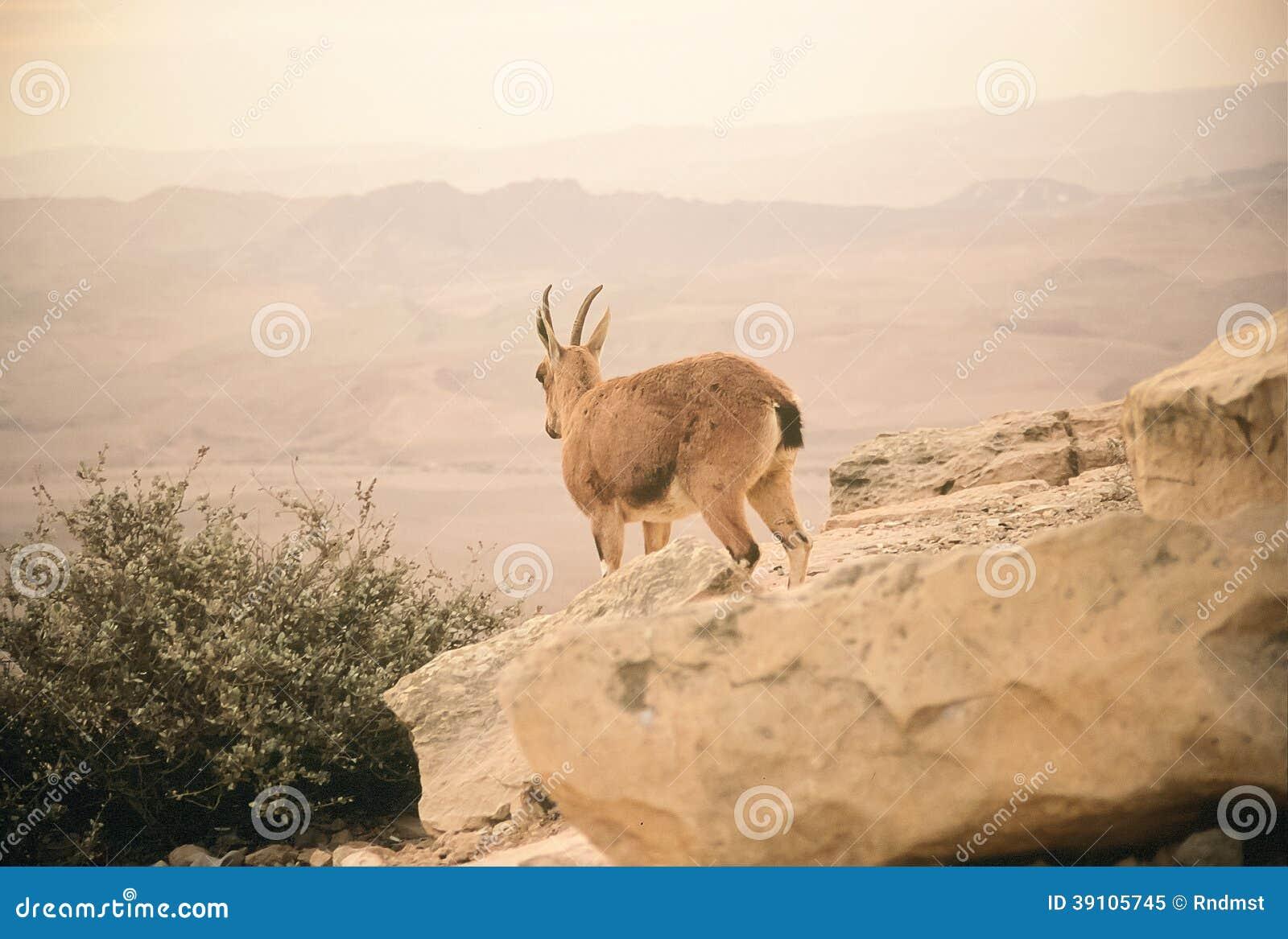 Nubiansteenbok