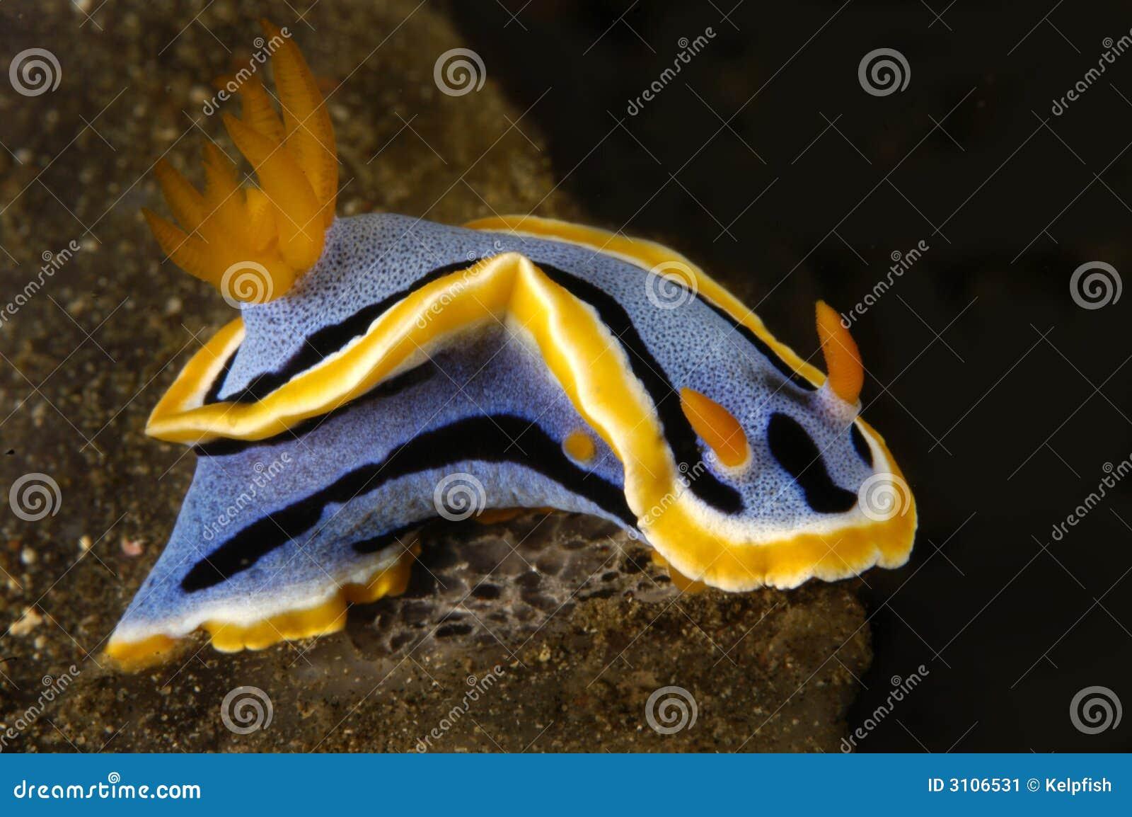 Nudibranch snail