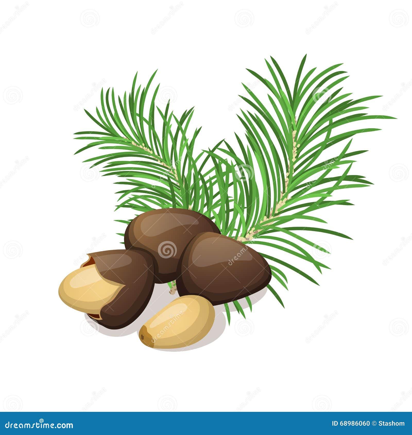 Nueces de pino con las hojas en blanco
