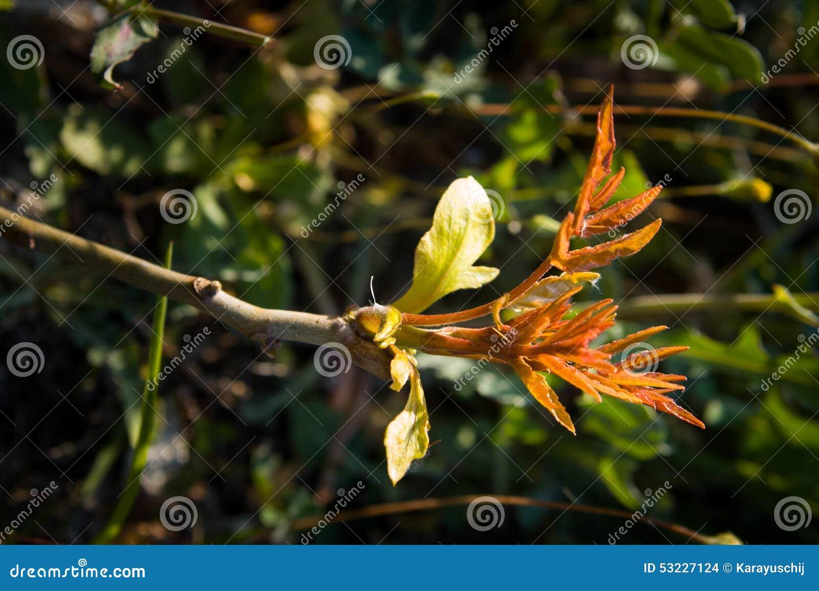 Nuevas hojas de la naranja