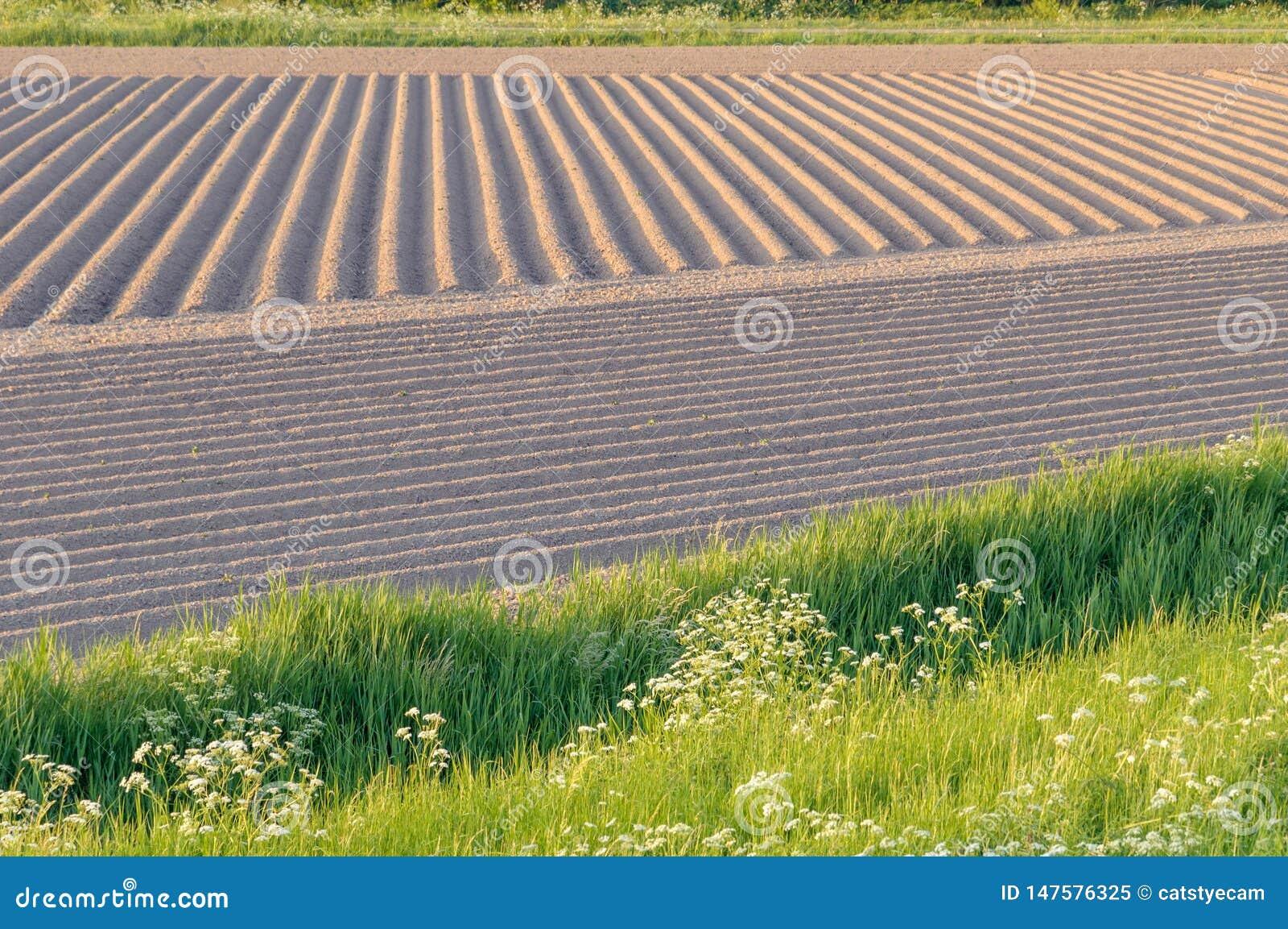 Nuevas patatas que crecen en filas del suelo labrado