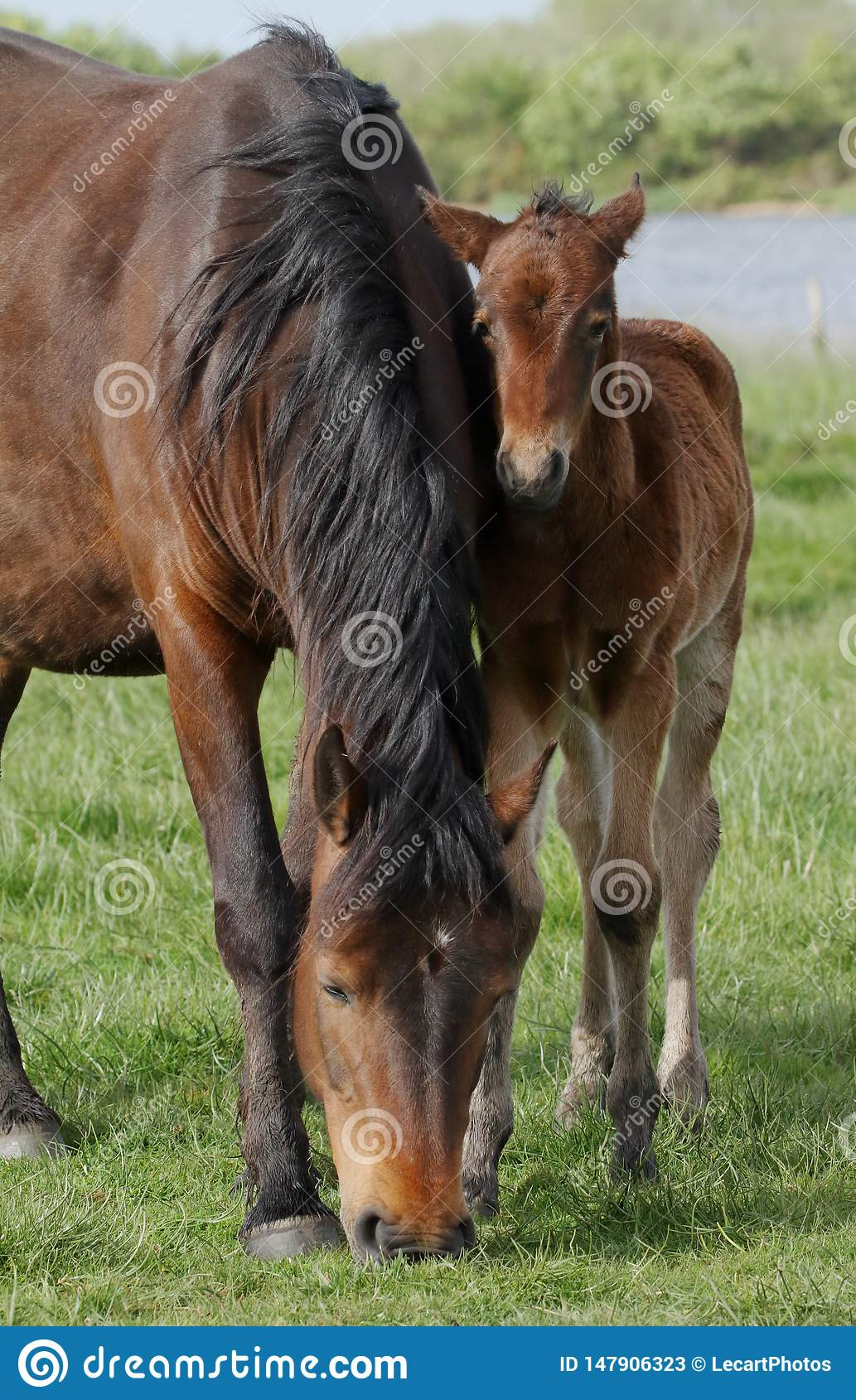 Nuevo Forest Pony And Foal