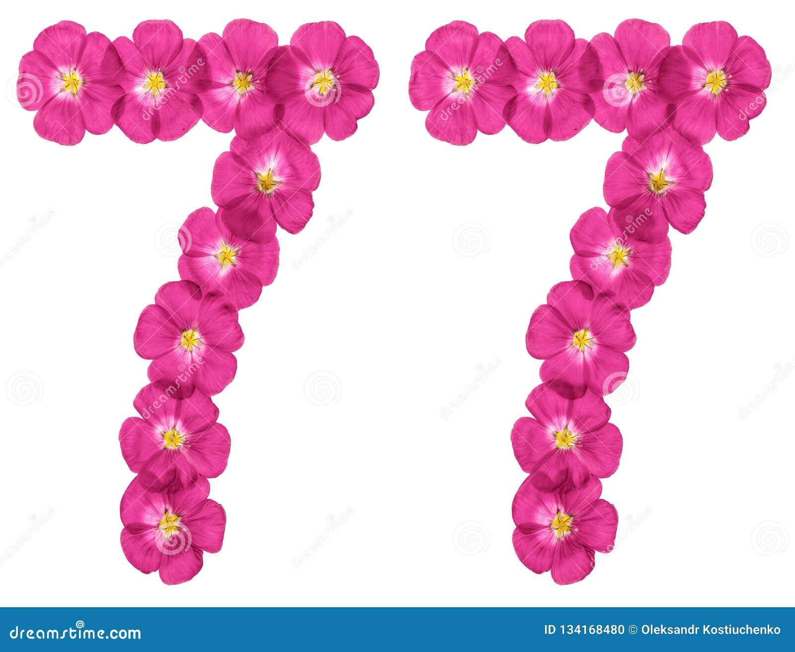 Numeral árabe 77, setenta sete, das flores cor-de-rosa do linho, isoladas no fundo branco