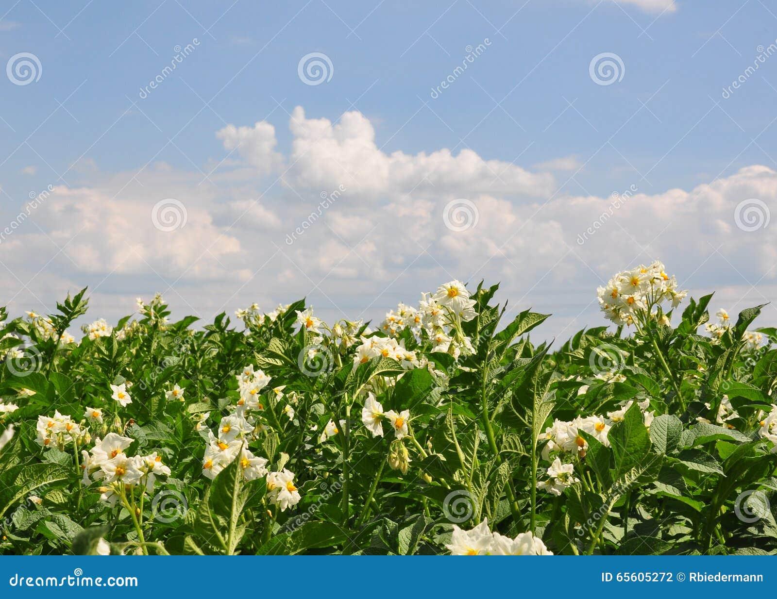 Numret för bakgrundsfältblomning planterar vita potatispotatisar