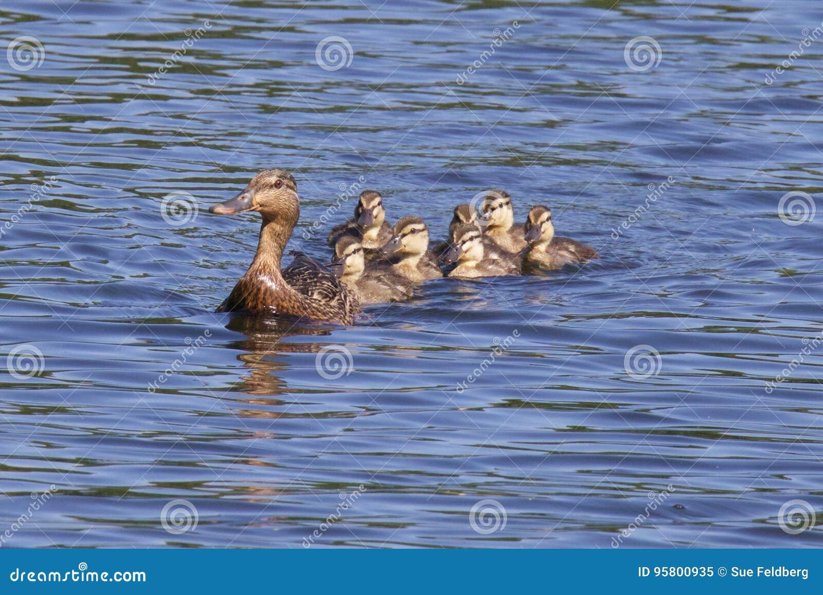 Nuotando con l anatra della madre