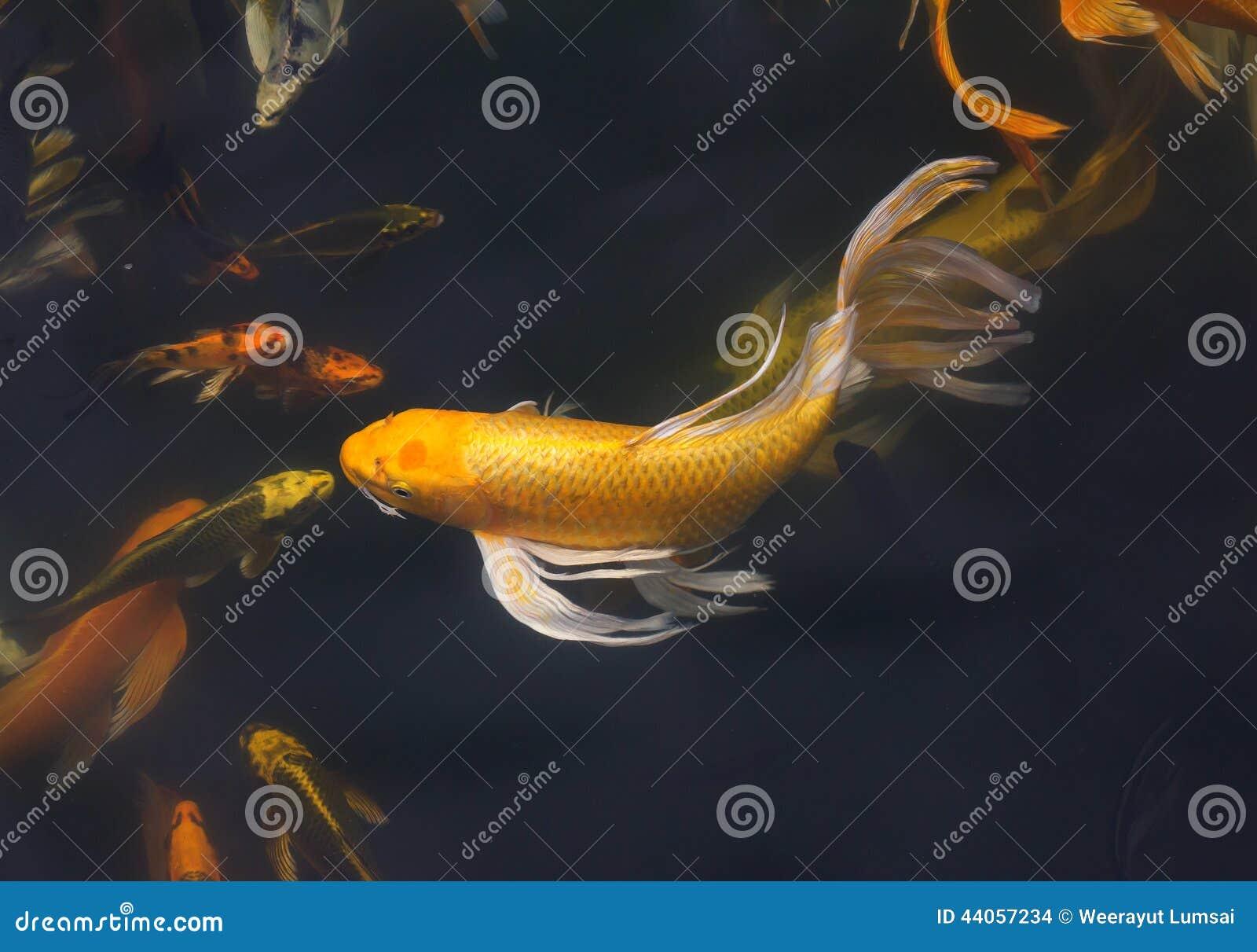 Nuoto del pesce di Koi