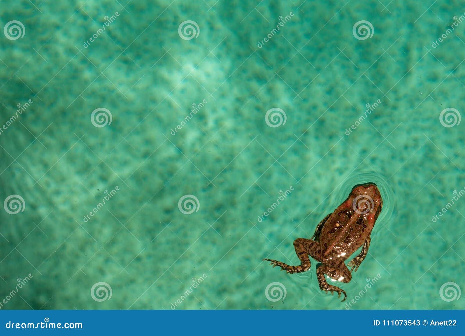 Nuoto del rospo della canna nella piscina del cortile