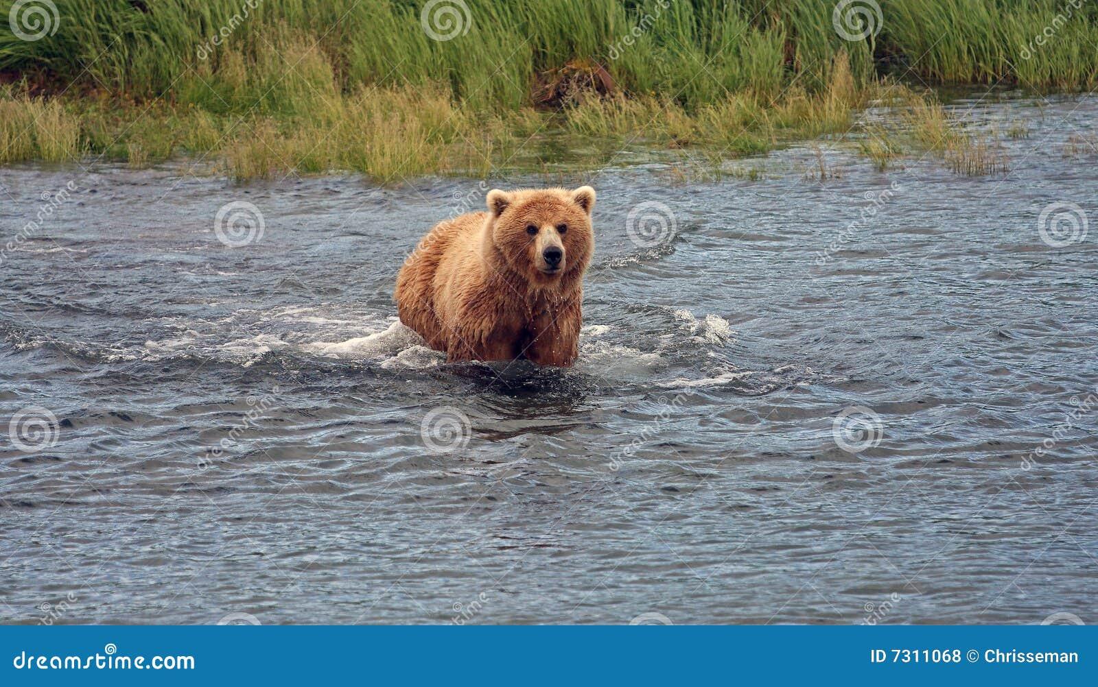 Nuoto dell orso