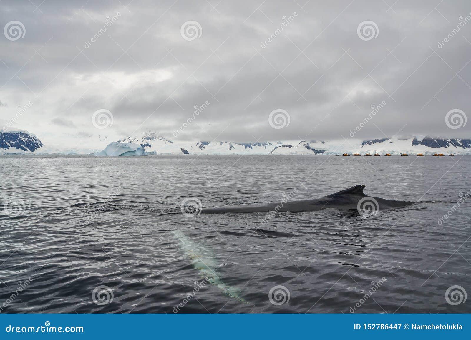 Nuoto della balena attraverso le acque antartiche