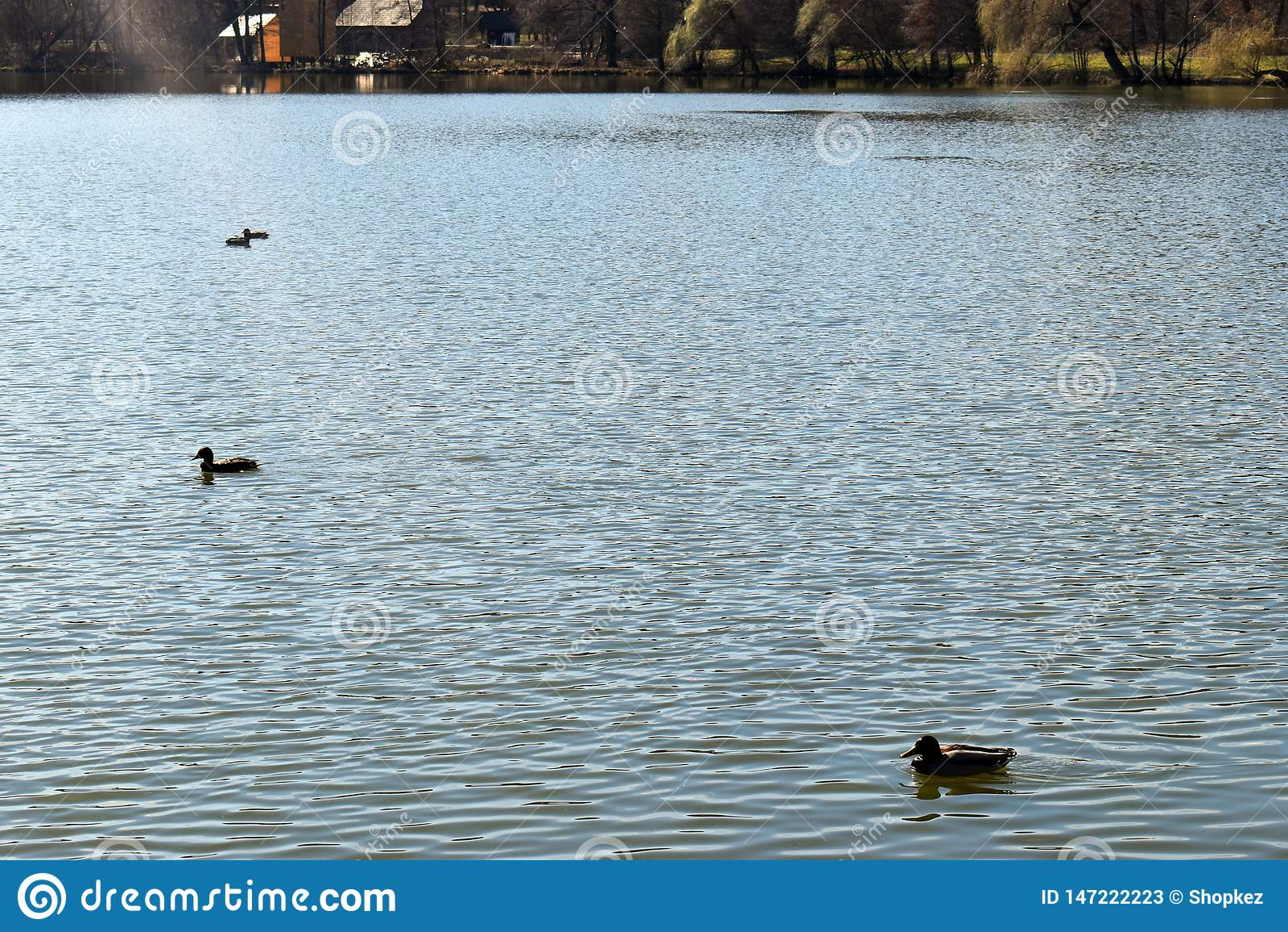 Nuoto della famiglia delle anatre sul lago brillante al tramonto