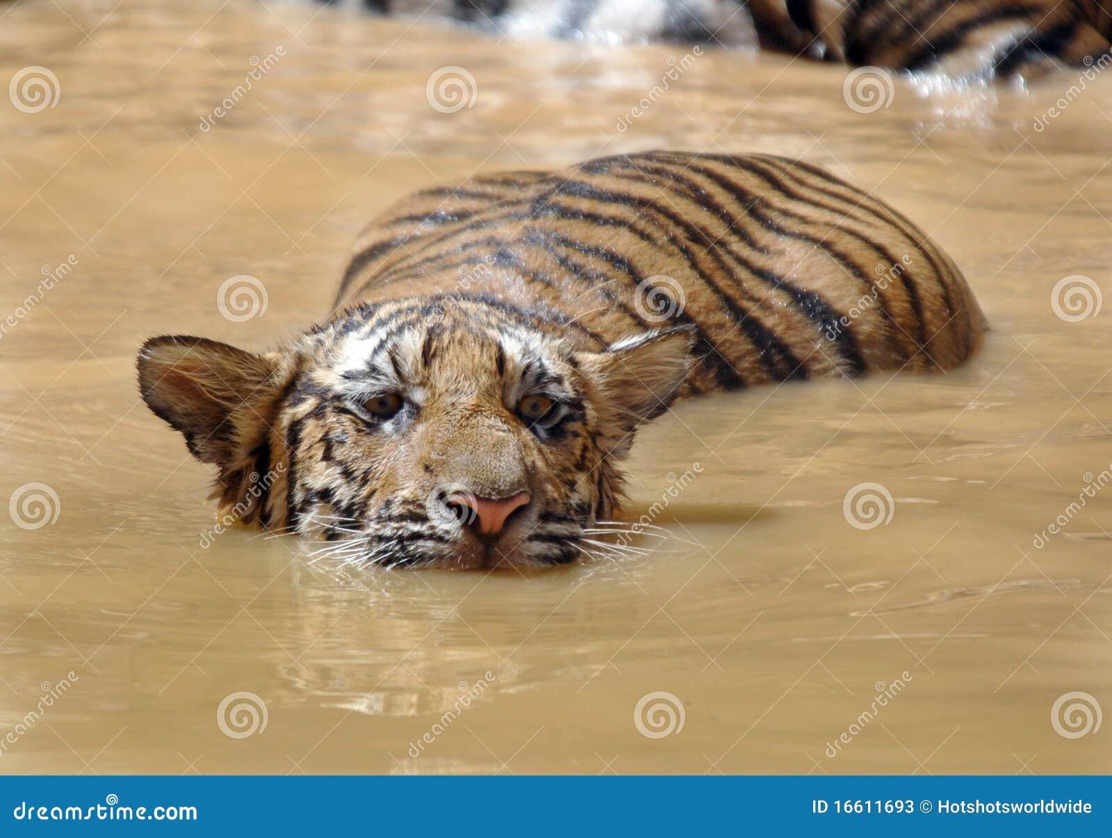 Nuoto giovanile della tigre di bengala gatto della for Bengala asia
