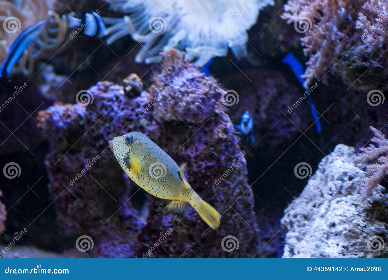 Nuoto tropicale del pesce