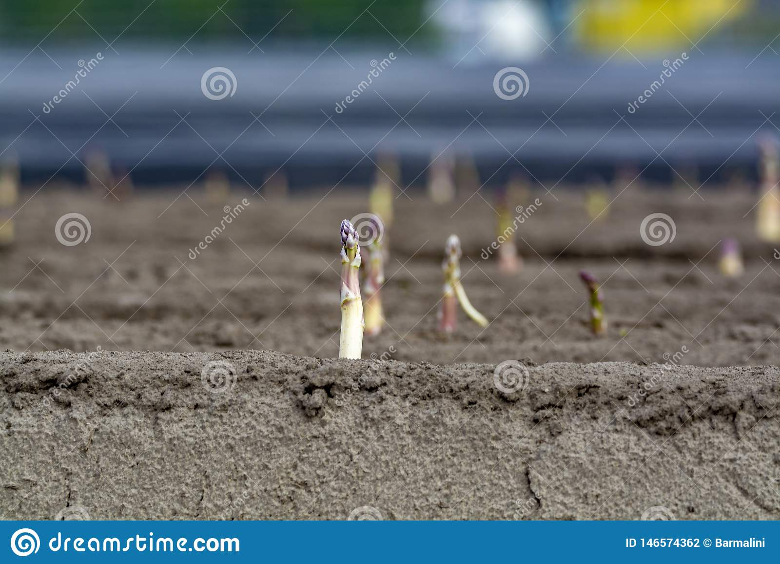 Nuova stagione del raccolto sull asparago bianco e porpora di verdure dei giacimenti dell asparago, che cresce scoperto sull azie
