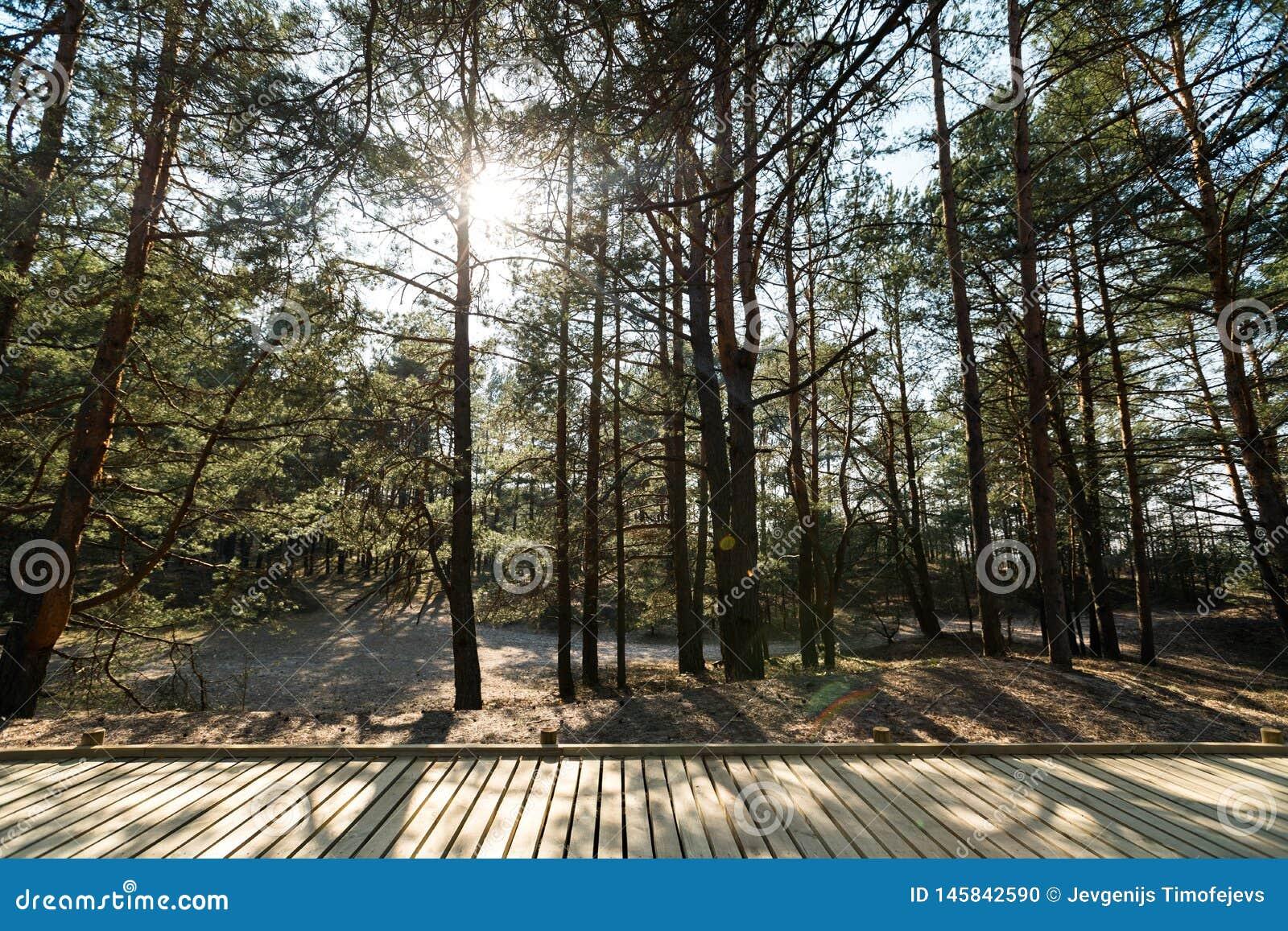 Nuova strada di legno che conduce dalla spiaggia del golfo del Mar Baltico con la sabbia bianca alla foresta della duna con i pin