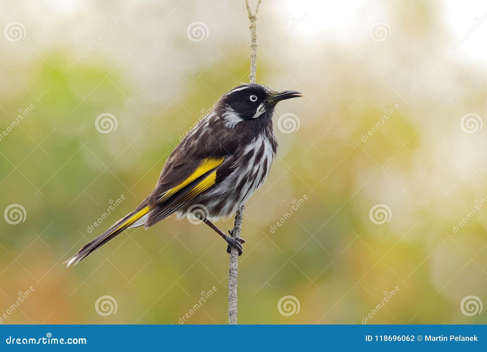 Nuovi novaehollandiae di Phylidonyris - di Holland Honeyeater - uccello australiano con colore giallo nelle ali L Australia, Tasm