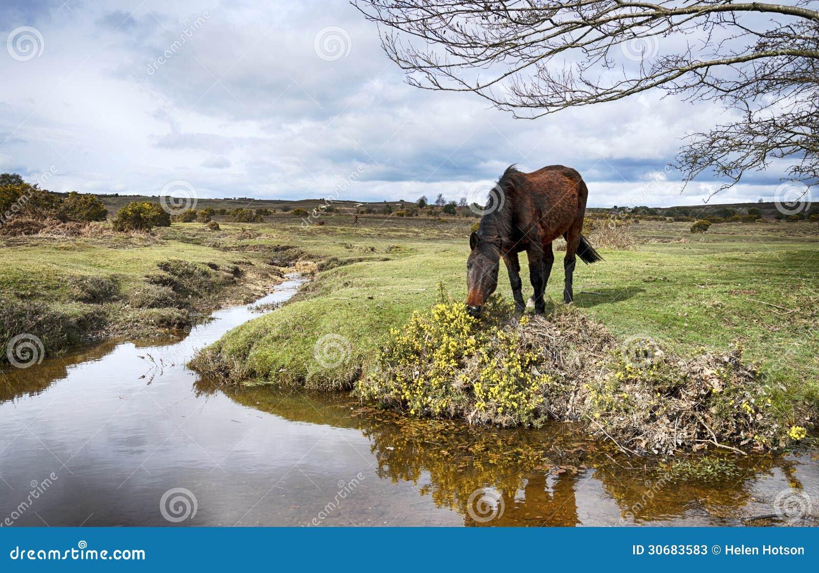 Nuovo Forest Pony