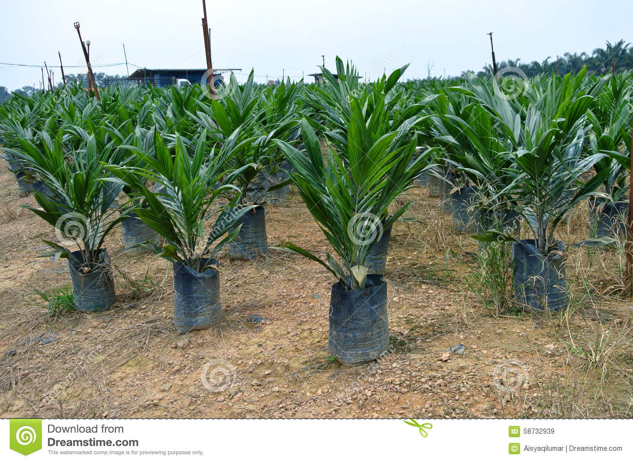 Nursery For Young Palm Oil Trees In Malaysia Stock Image
