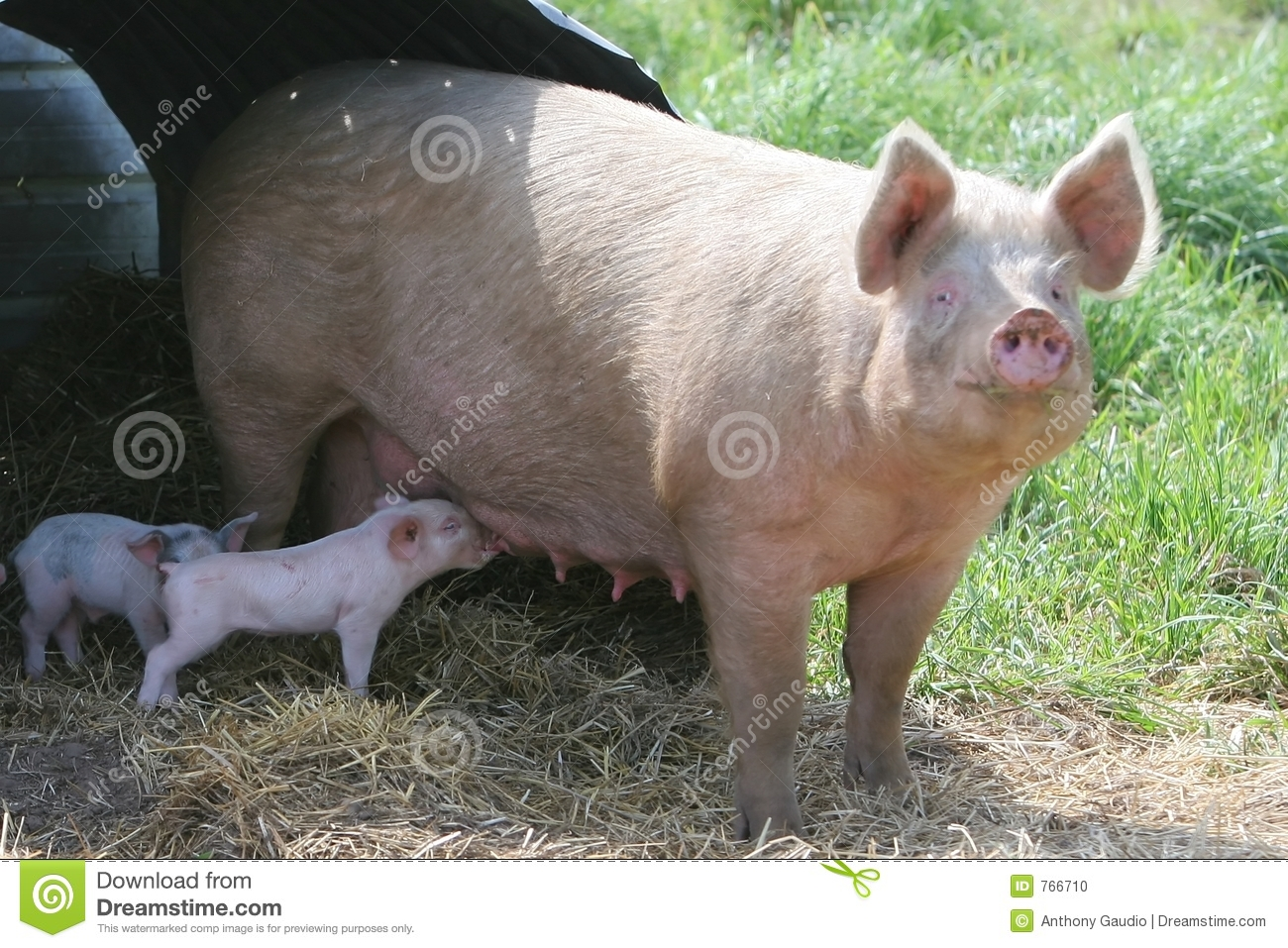 mother baby pig stock images 1 673 photos