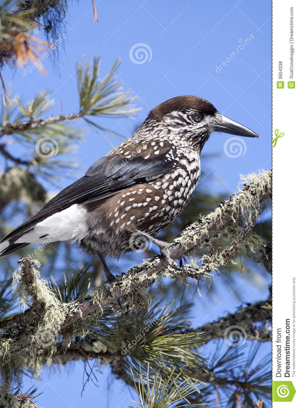 Spotted Nutcracker, Eurasian Nutcracker, or just Nutcracker (Nucifraga caryocatactes), on a branch of Swiss Pine or Arolla Pine (Pinus cembra) whose seed is nourished. The nutcracker is the emblem of a Swiss National Park (Engadin).