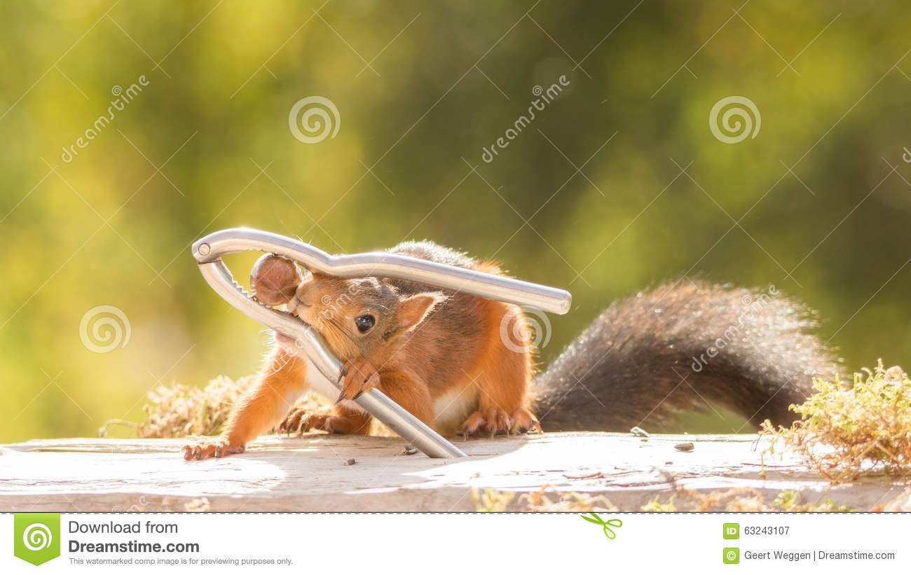 Nutcrackers way stock photo image 63243107 Nutcracker squirrel