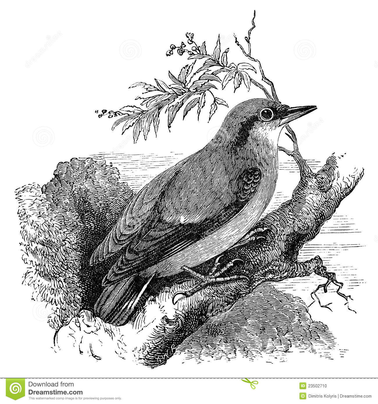 Nuthatch Bird Vintage Illustration Stock Photo - Image ...