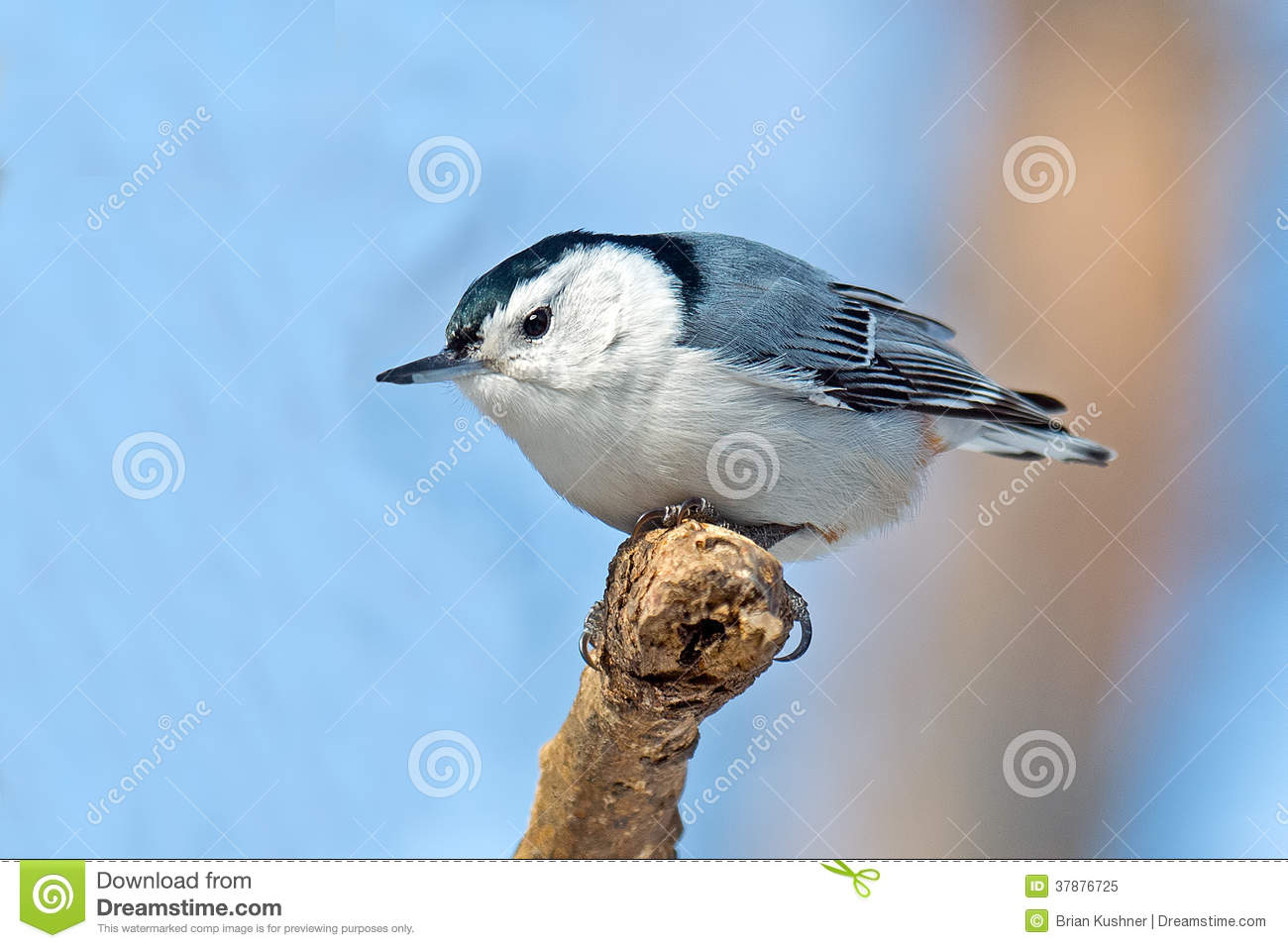 Nuthatch wit-Breasted